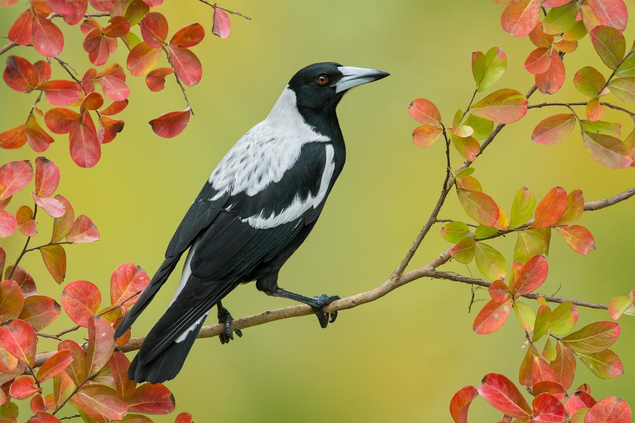 Free download Magpie wallpaper ID:130328 hd 1280x854 for PC