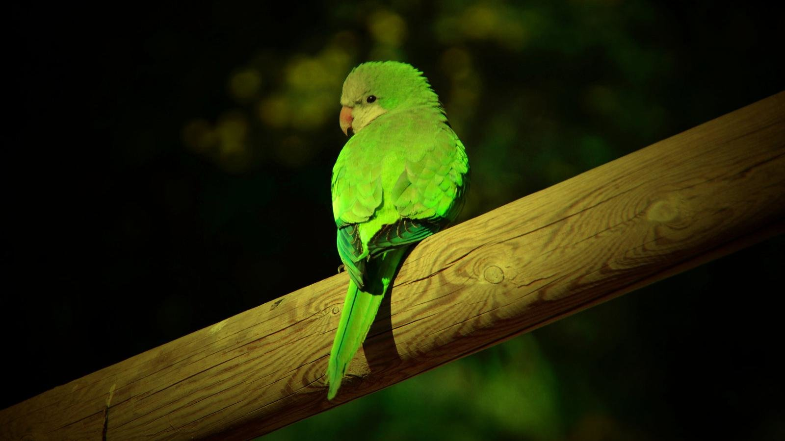 Best Parrot background ID:25843 for High Resolution hd 1600x900 desktop