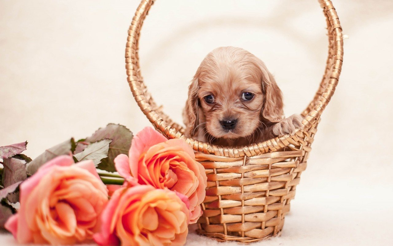 High resolution Puppy hd 1280x800 background ID:46966 for desktop