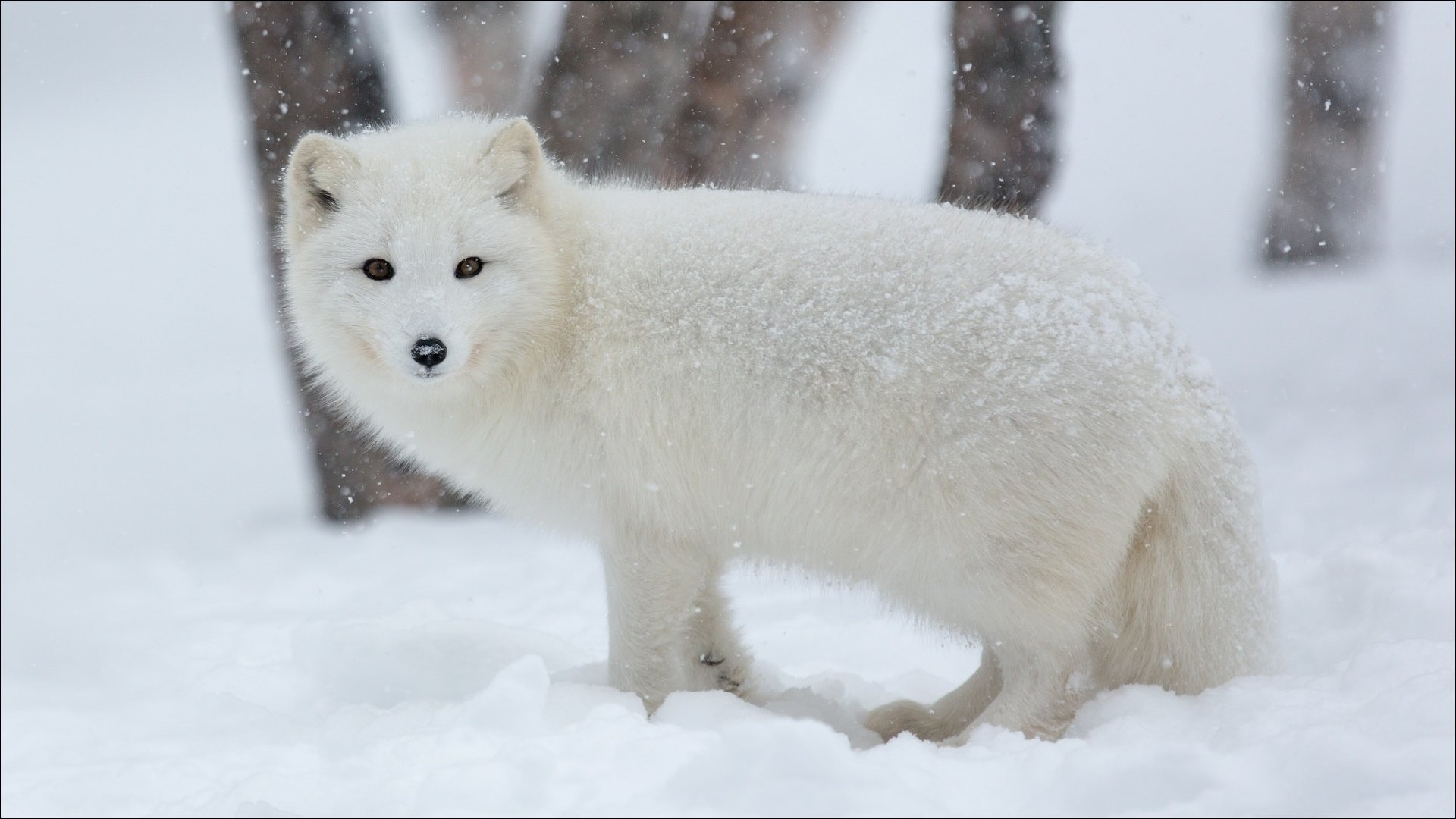 Awesome Arctic Fox free background ID:98756 for full hd PC
