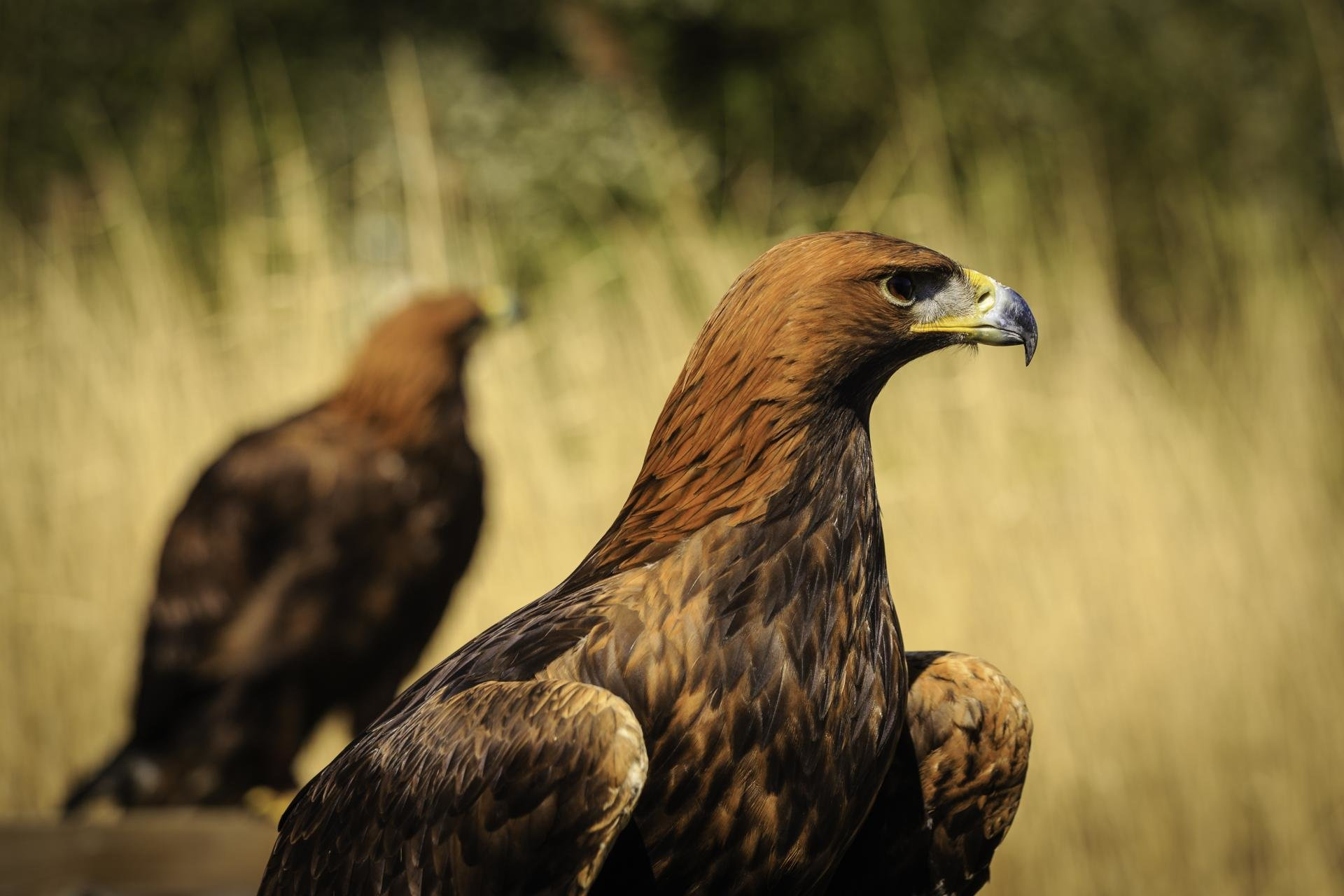 Download hd 1920x1280 Golden Eagle desktop wallpaper ID:299819 for free