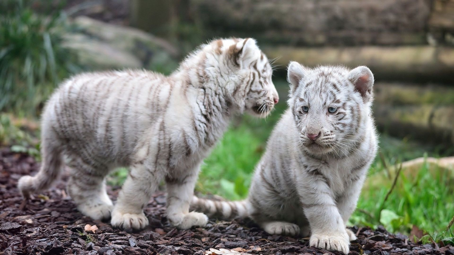 Free download White Tiger background ID:174866 full hd for PC
