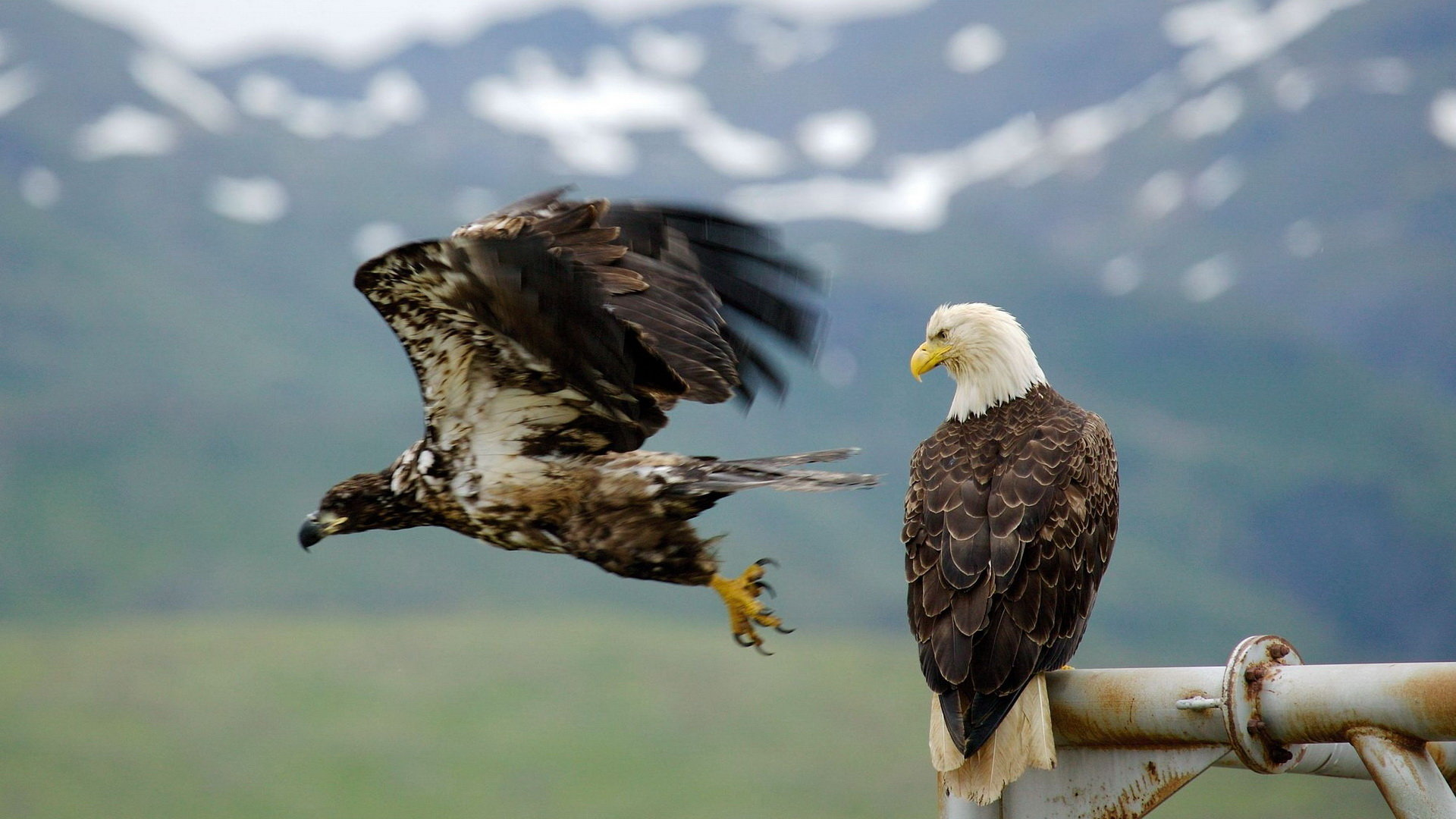 Download full hd American Bald Eagle PC background ID:68768 for free