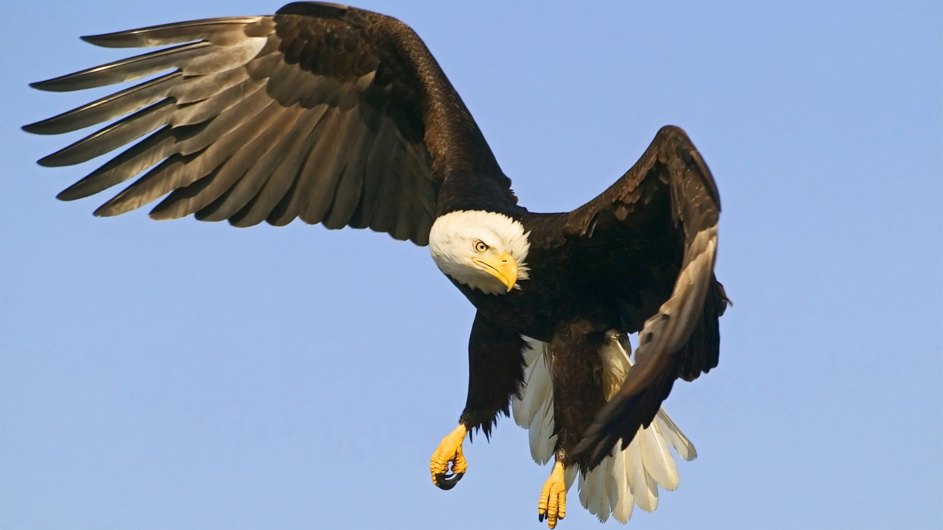 Best American Bald Eagle wallpaper ID:68617 for High Resolution full hd 1080p computer