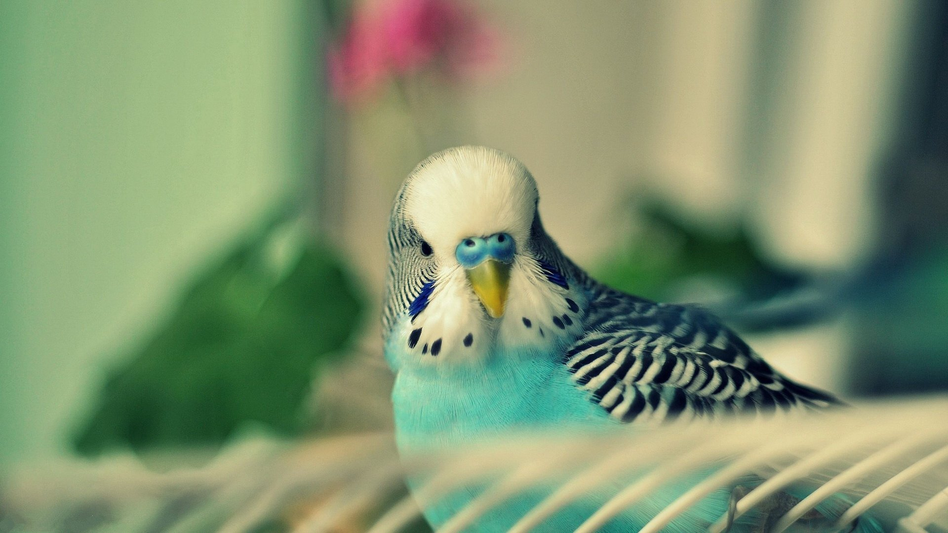 Download hd 1920x1080 Budgerigar PC background ID:32578 for free