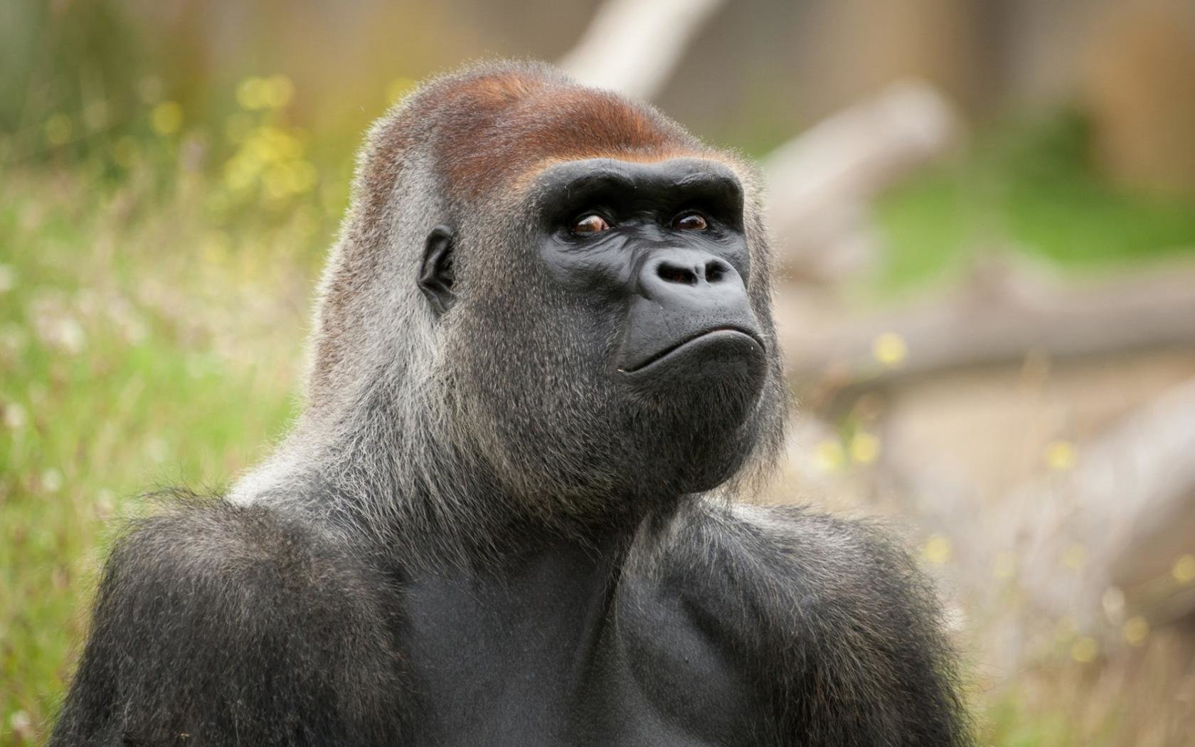 Free Gorilla high quality background ID:145571 for hd 1680x1050 PC