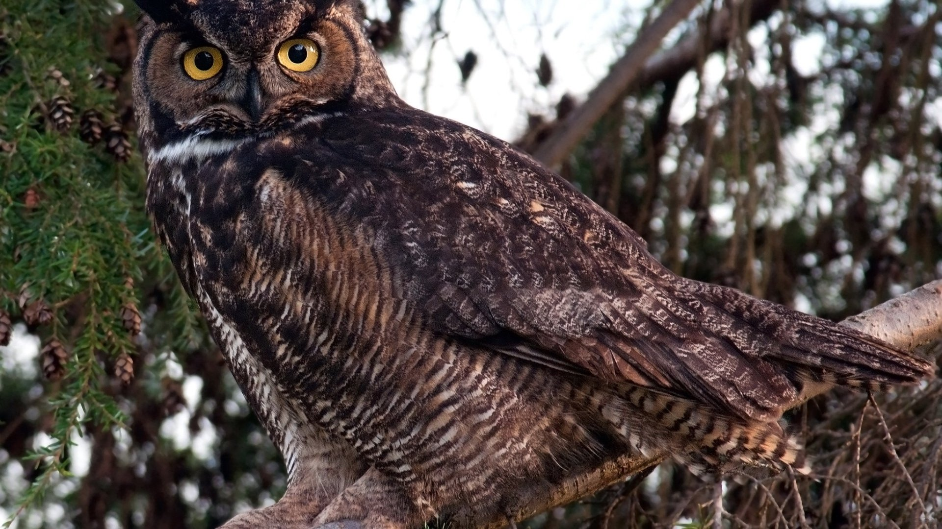 Awesome Great Horned Owl free background ID:297788 for full hd desktop