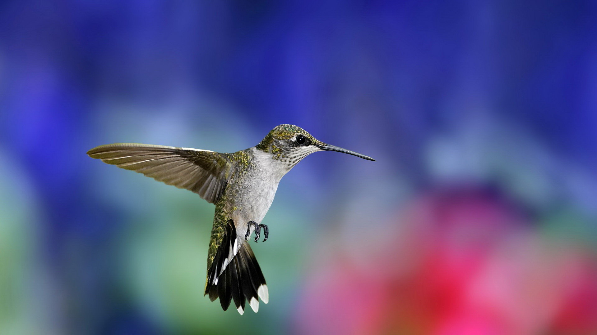 High resolution Hummingbird full hd 1080p background ID:215693 for desktop