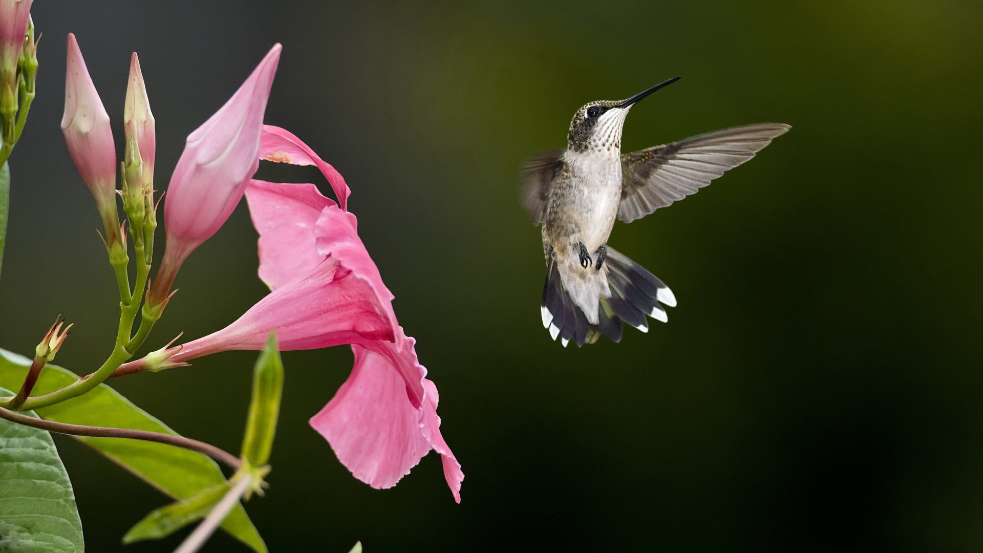 Awesome Hummingbird free wallpaper ID:215813 for hd 1080p computer