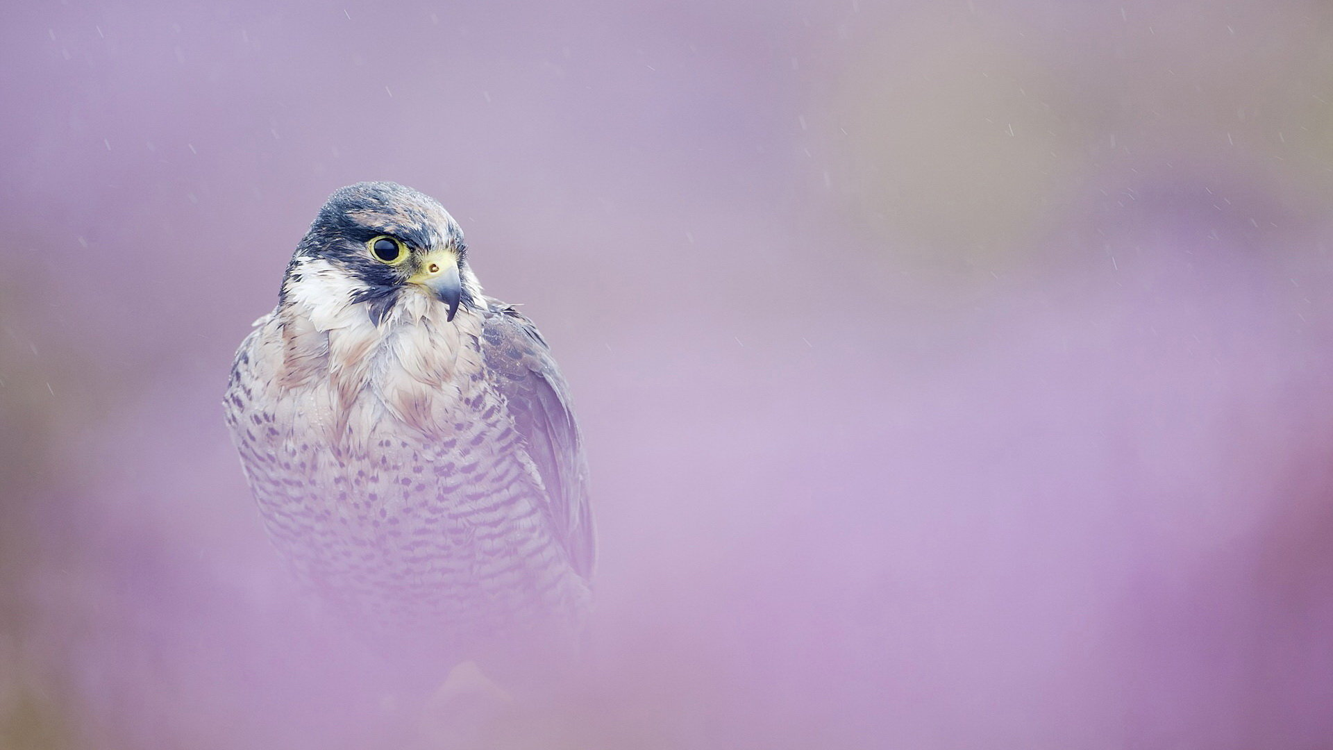Awesome Peregrine Falcon free background ID:244698 for full hd desktop