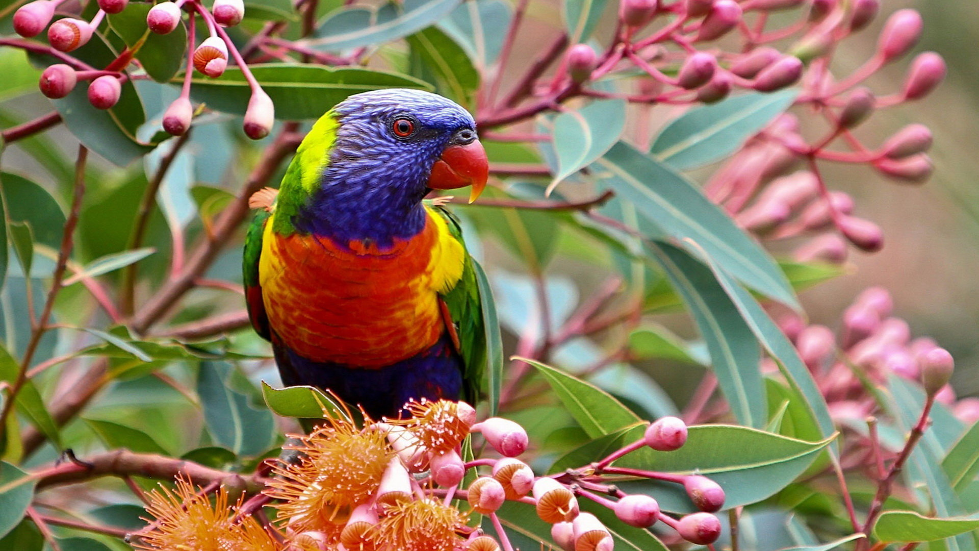 High resolution Rainbow Lorikeet full hd background ID:10174 for PC