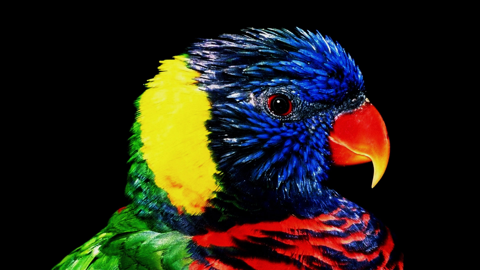 Download hd 1920x1080 Rainbow Lorikeet computer wallpaper ID:10163 for free