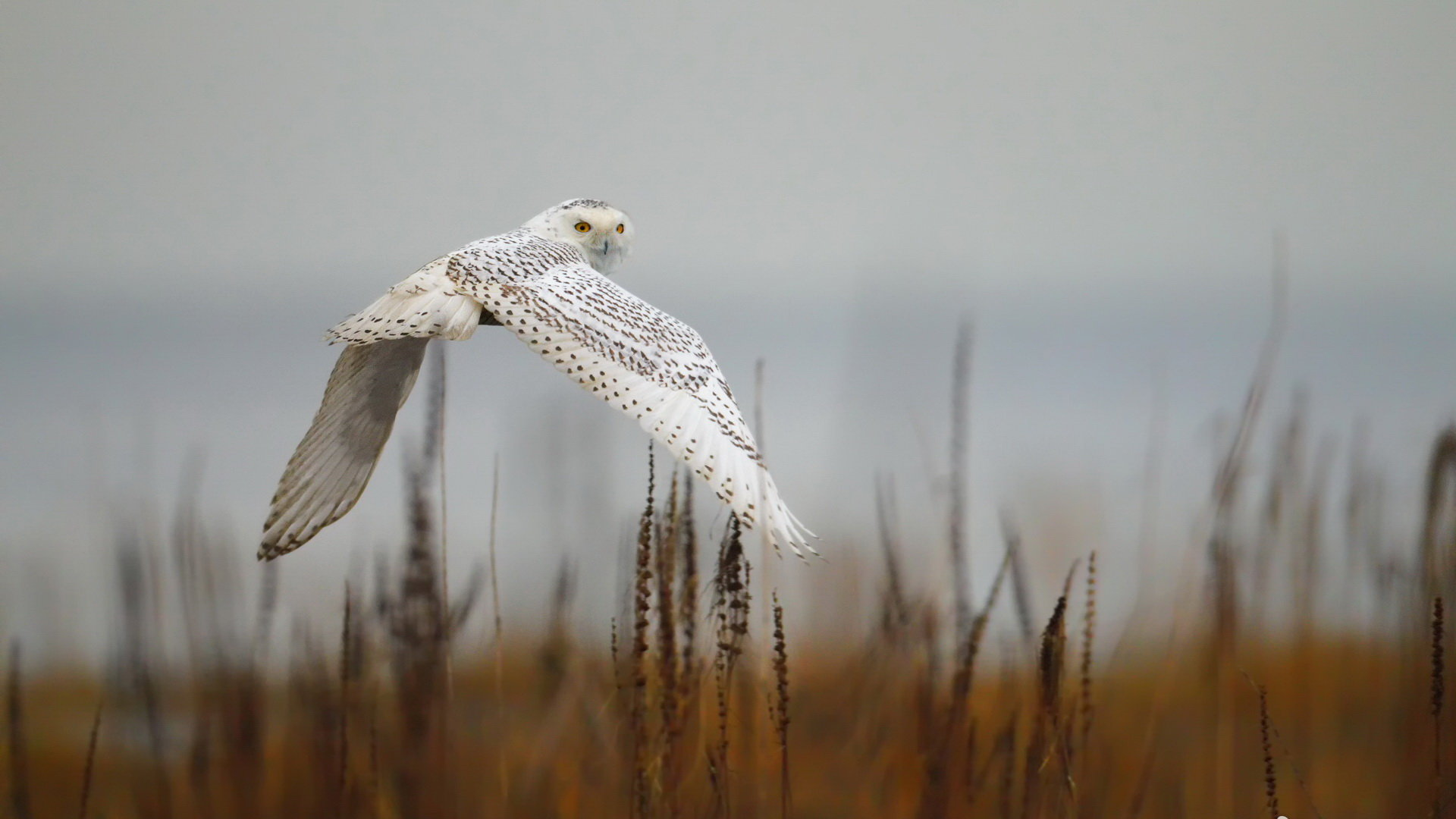 Best Snowy Owl background ID:26831 for High Resolution full hd 1080p computer
