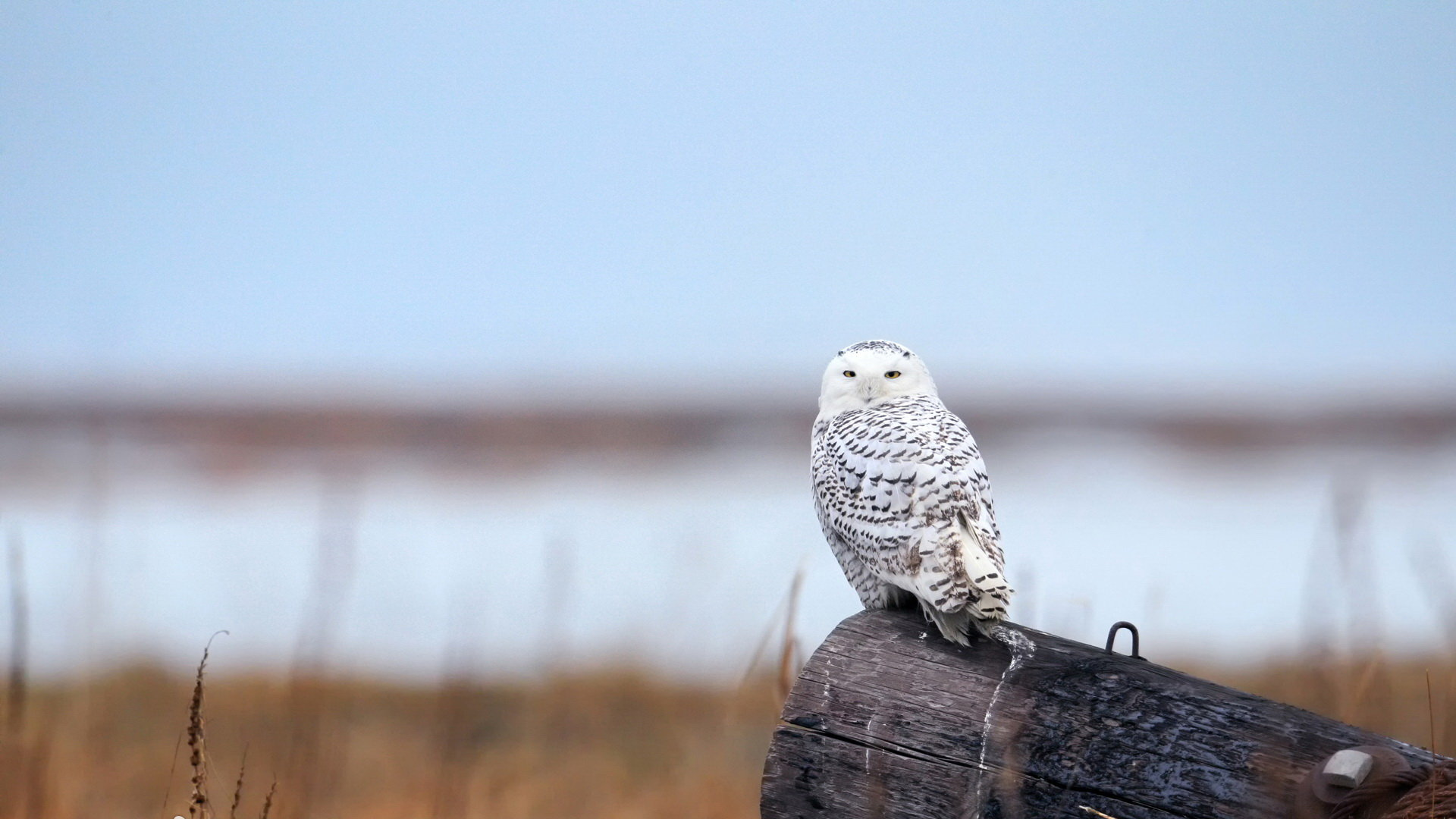 Free download Snowy Owl background ID:26840 full hd for desktop