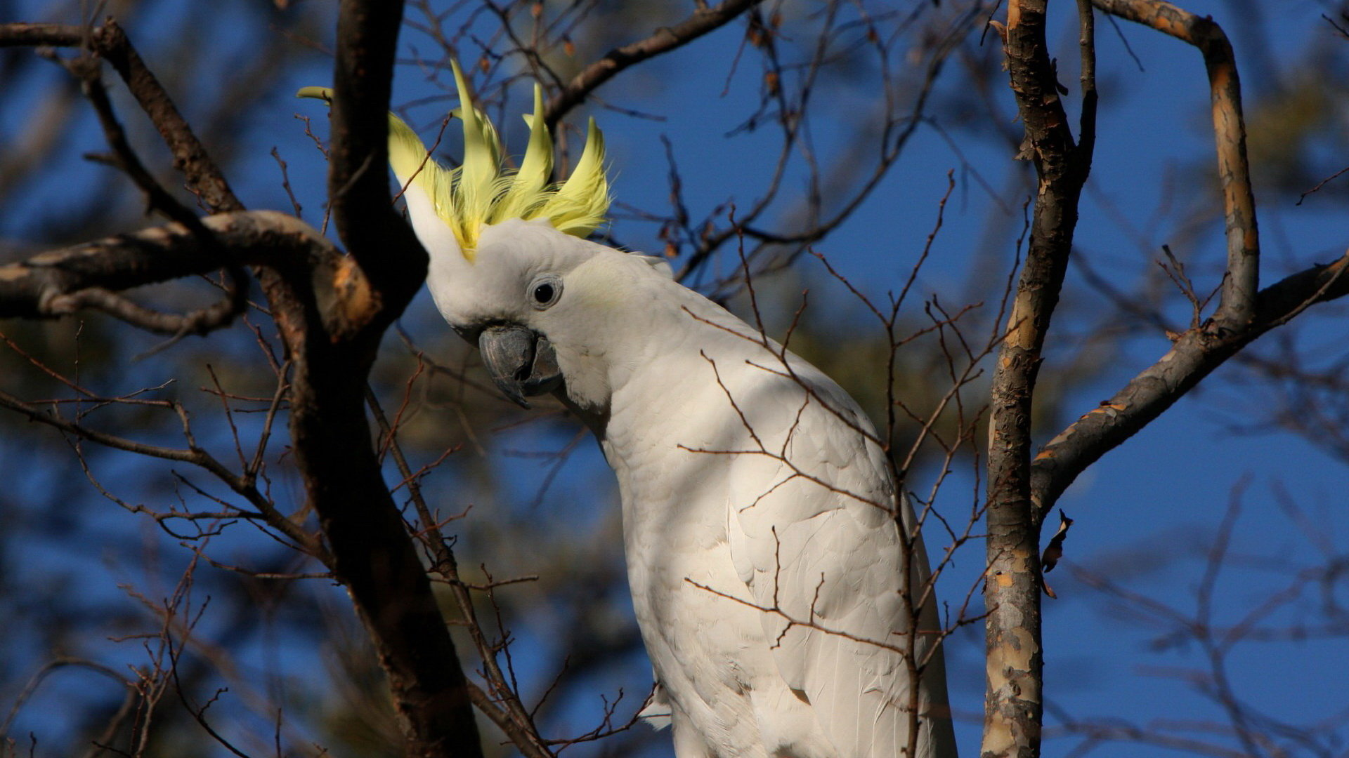 Download full hd 1080p Sulphur-crested Cockatoo PC background ID:130247 for free