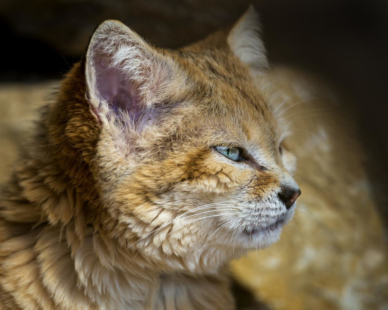 Free Wildcat high quality background ID:467260 for hd 1280x1024 PC