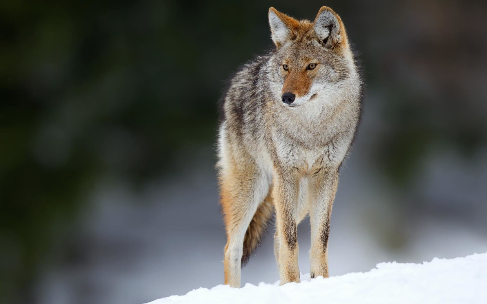 Best Coyote background ID:357102 for High Resolution hd 1680x1050 computer