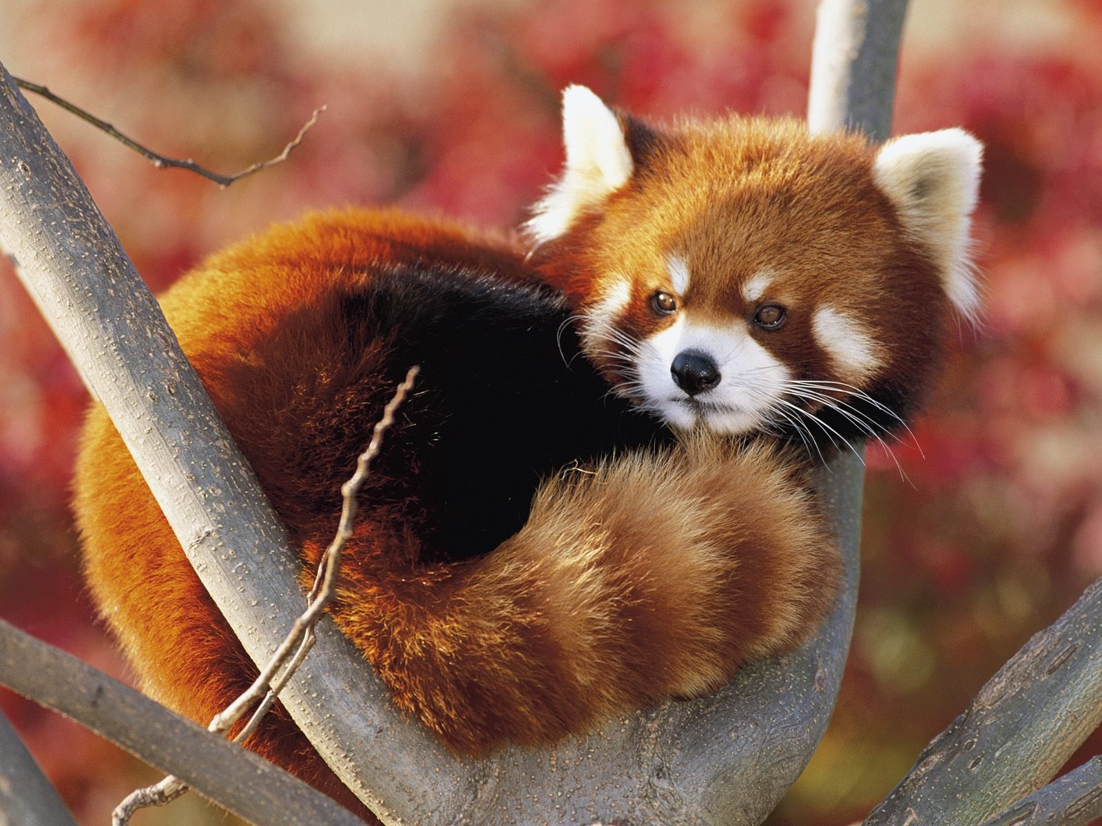 Best Red Panda wallpaper ID:63957 for High Resolution hd 1600x1200 PC