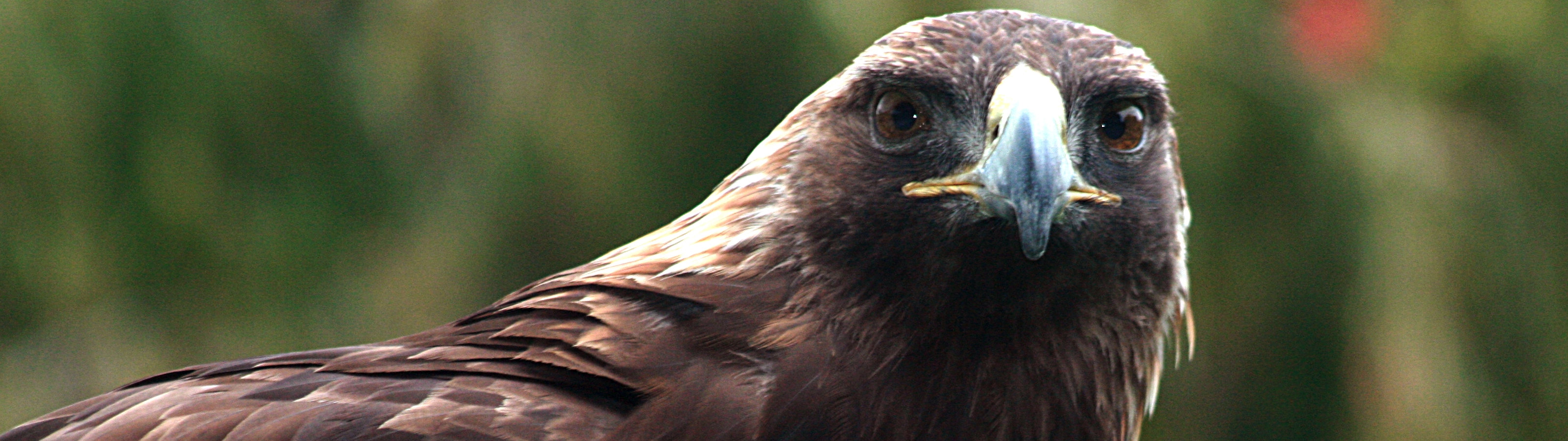 Best Golden Eagle wallpaper ID:299811 for High Resolution dual screen 3200x900 computer