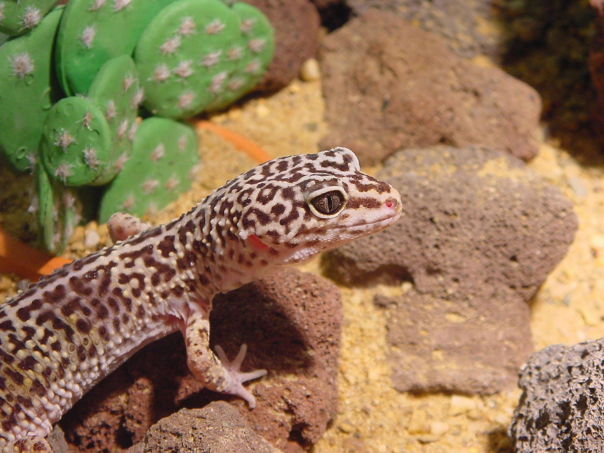 Free download Leopard Gecko background ID:357667 hd 1920x1440 for computer