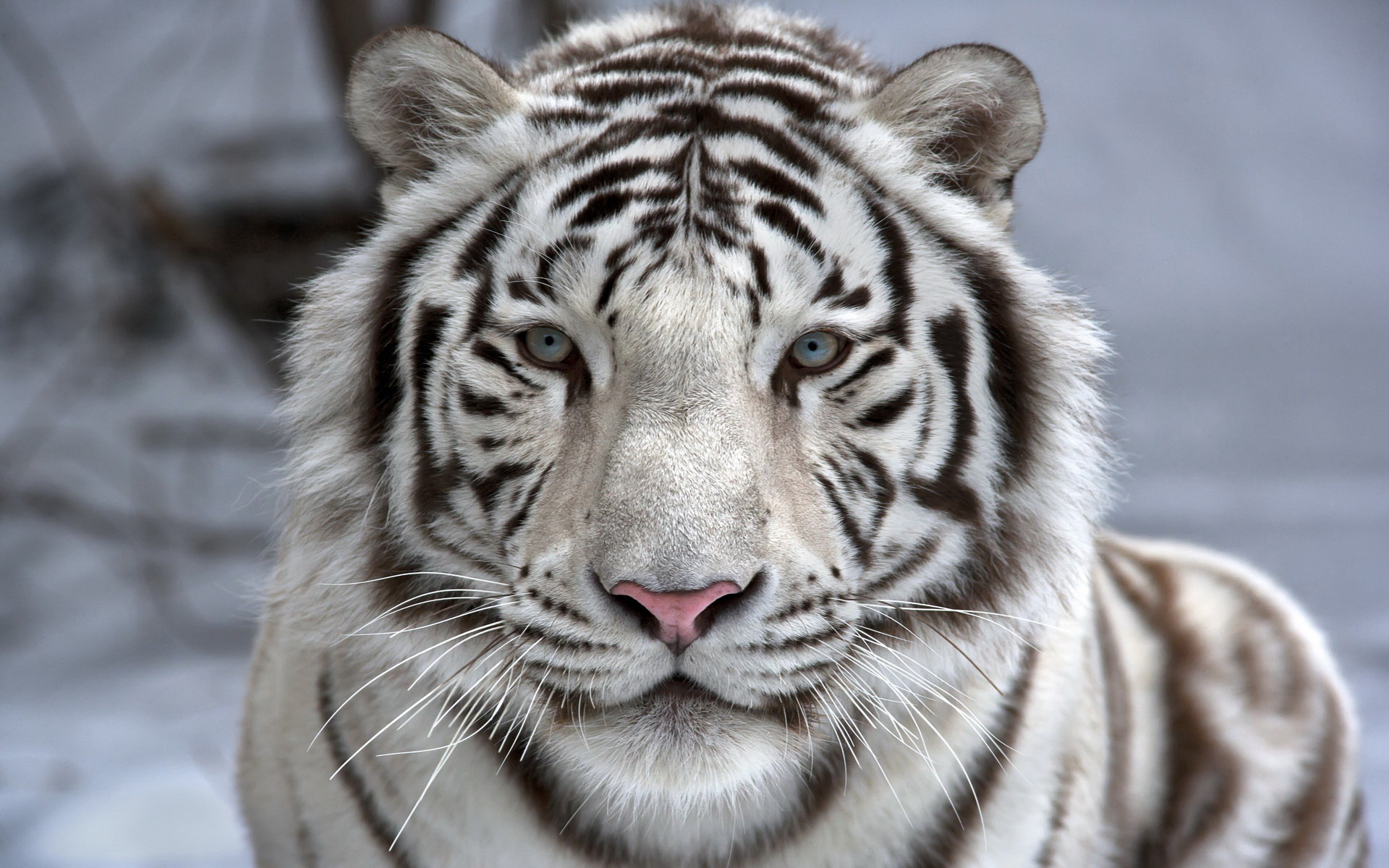 Free White Tiger high quality wallpaper ID:174845 for hd 1920x1200 PC