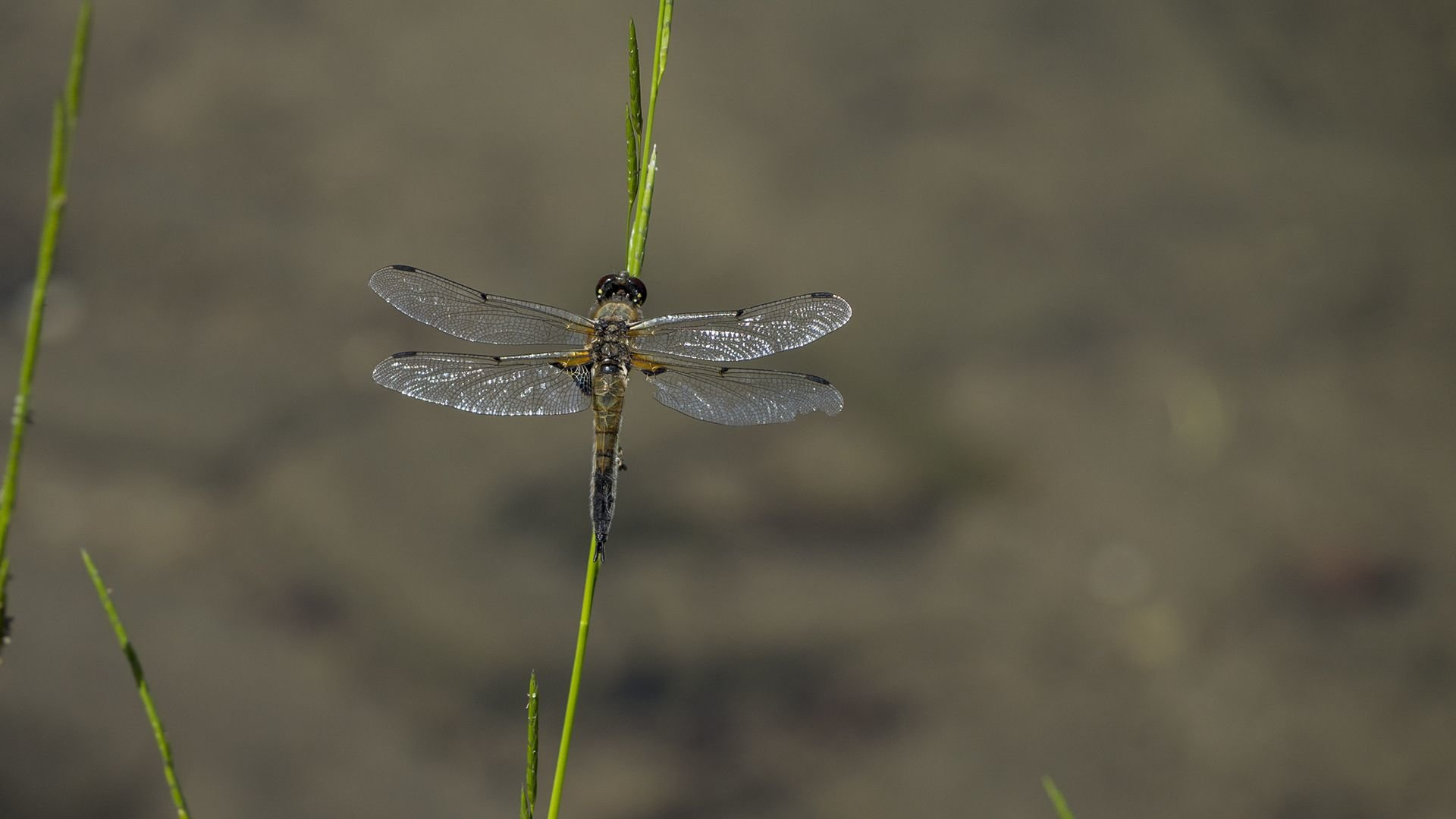 Free Dragonfly high quality wallpaper ID:467589 for 1080p PC