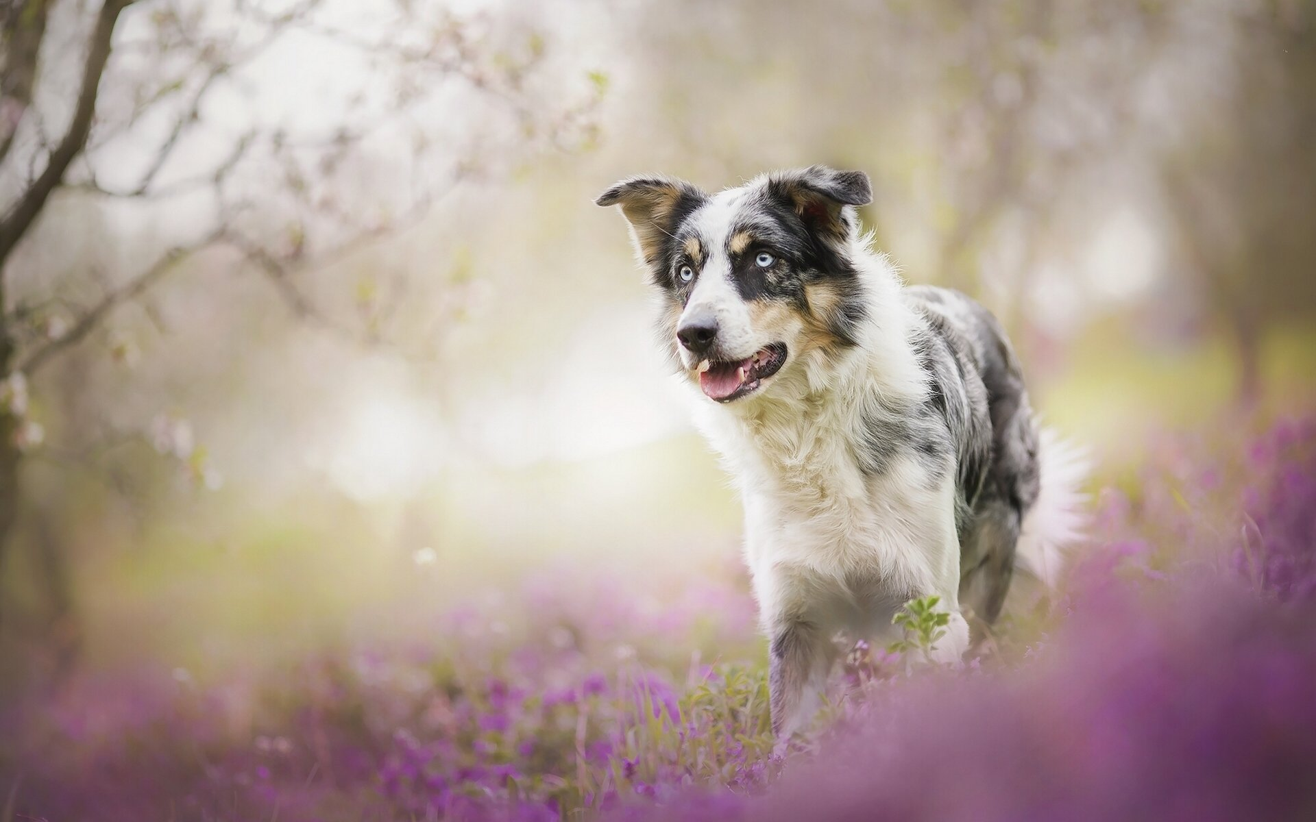 High resolution Australian Shepherd hd 1920x1200 background ID:118749 for PC