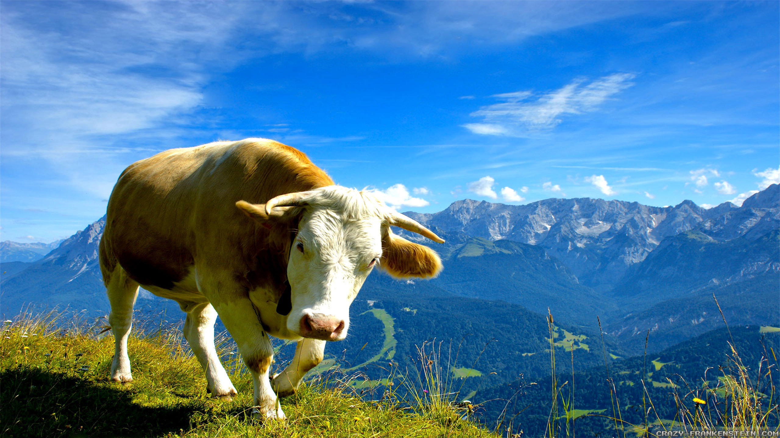 Free download Cow wallpaper ID:466901 hd 2560x1440 for PC