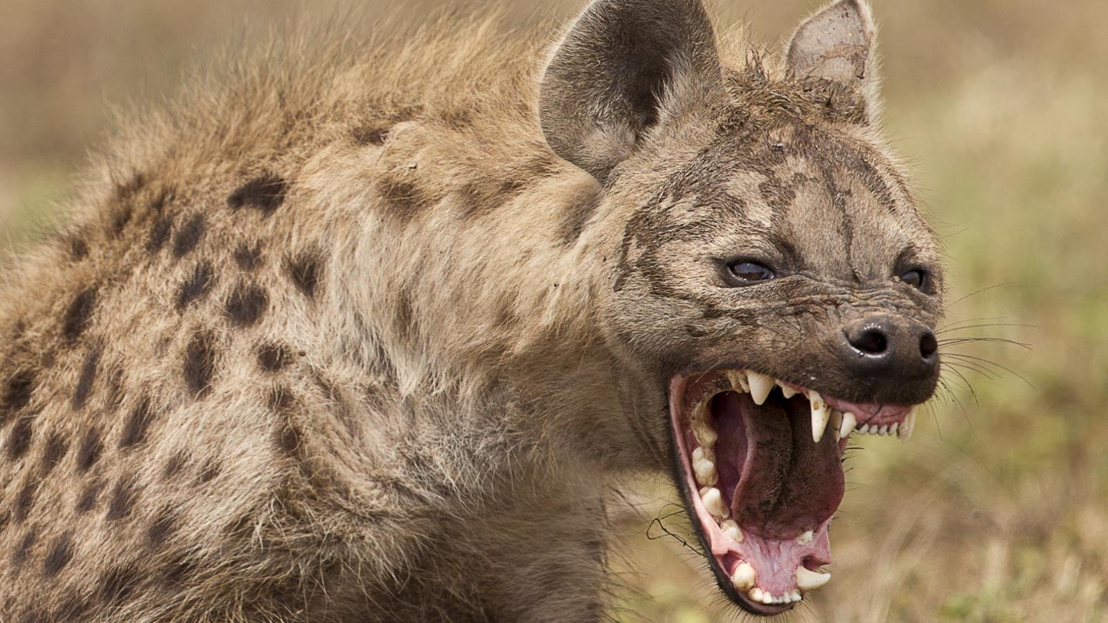 Free download Hyena background ID:239233 hd 1600x900 for computer