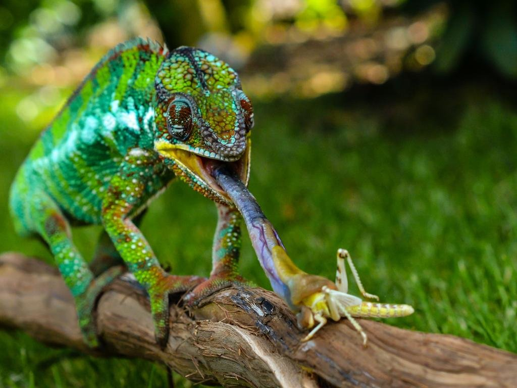Free download Chameleon wallpaper ID:462534 hd 1024x768 for PC