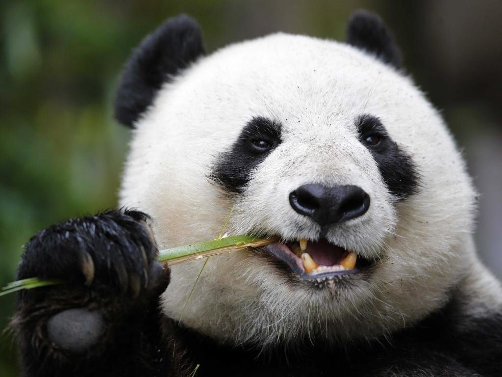 Best Panda wallpaper ID:300502 for High Resolution hd 1024x768 computer