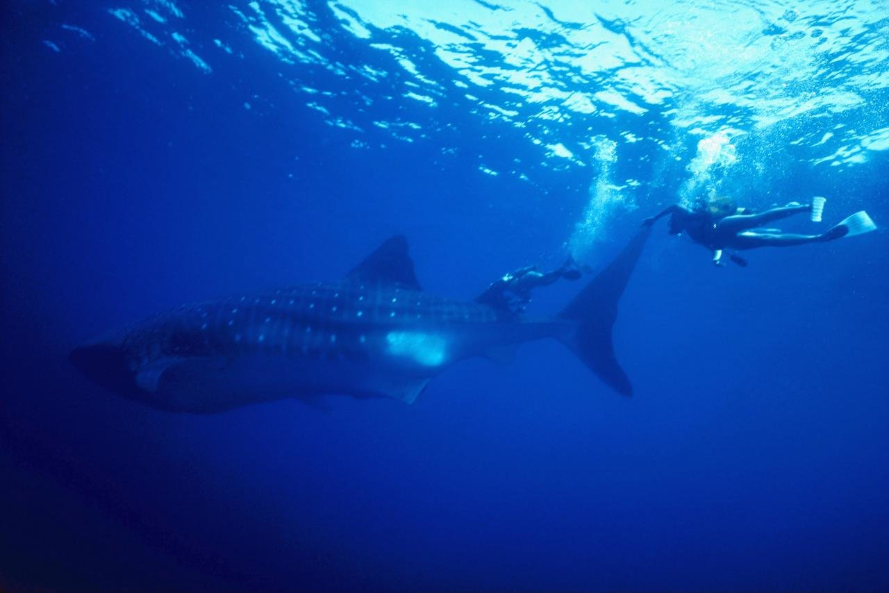 Free Whale Shark high quality background ID:134829 for hd 1280x854 PC