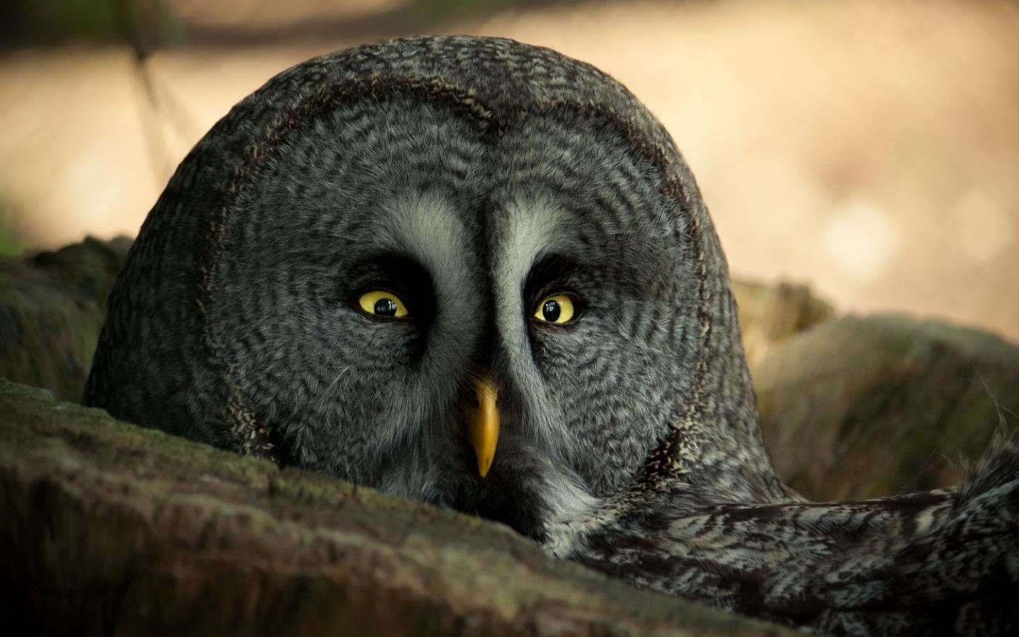 Awesome Great Grey Owl free background ID:235132 for hd 1440x900 desktop