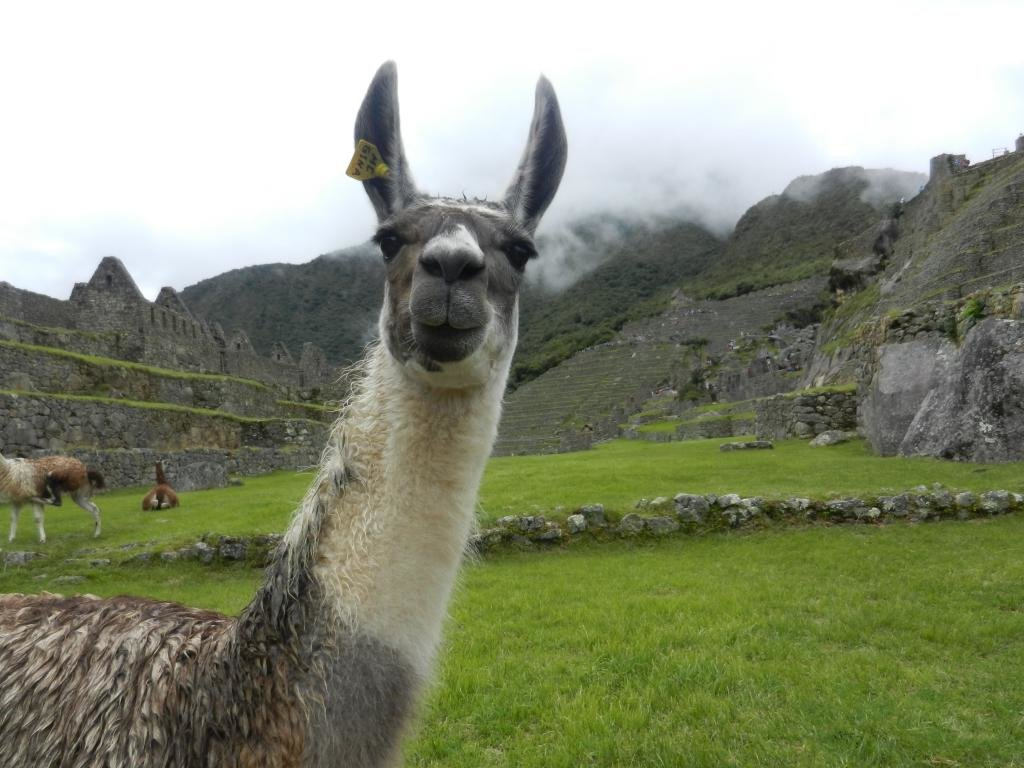 High resolution Llama hd 1024x768 wallpaper ID:165663 for desktop