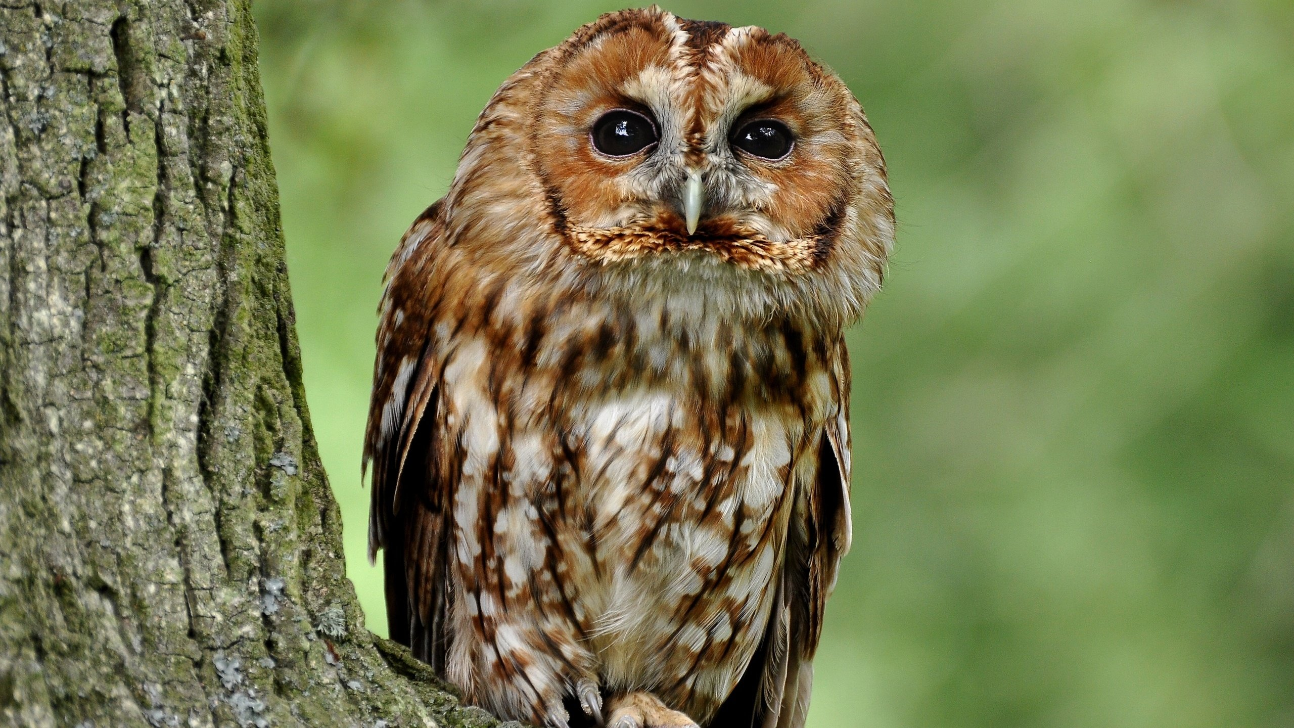 Awesome Owl free wallpaper ID:237069 for hd 2560x1440 computer