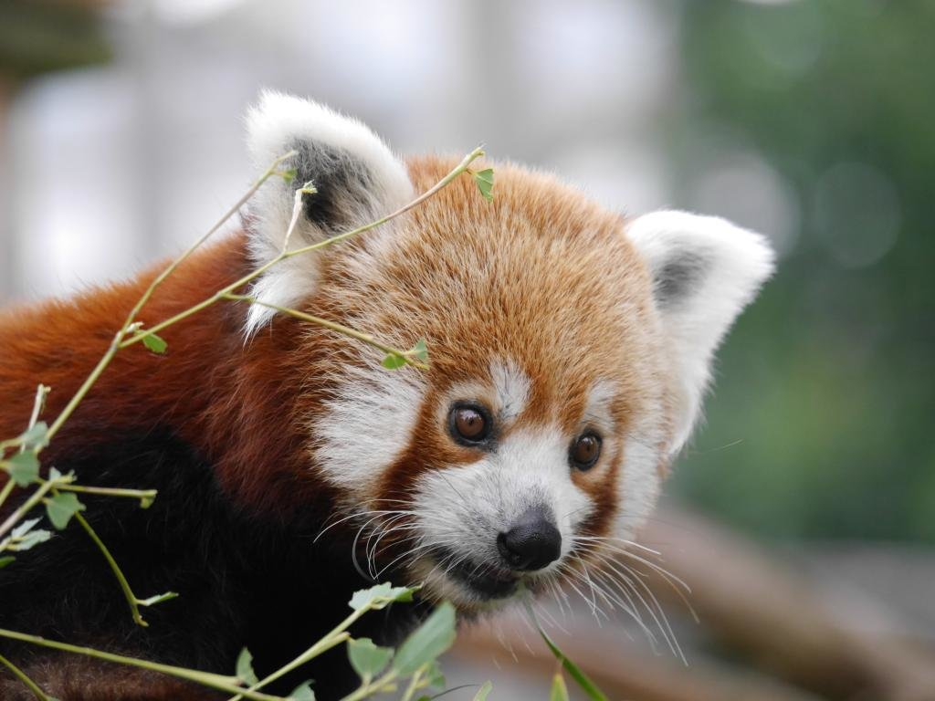 Download hd 1024x768 Red Panda PC wallpaper ID:64132 for free