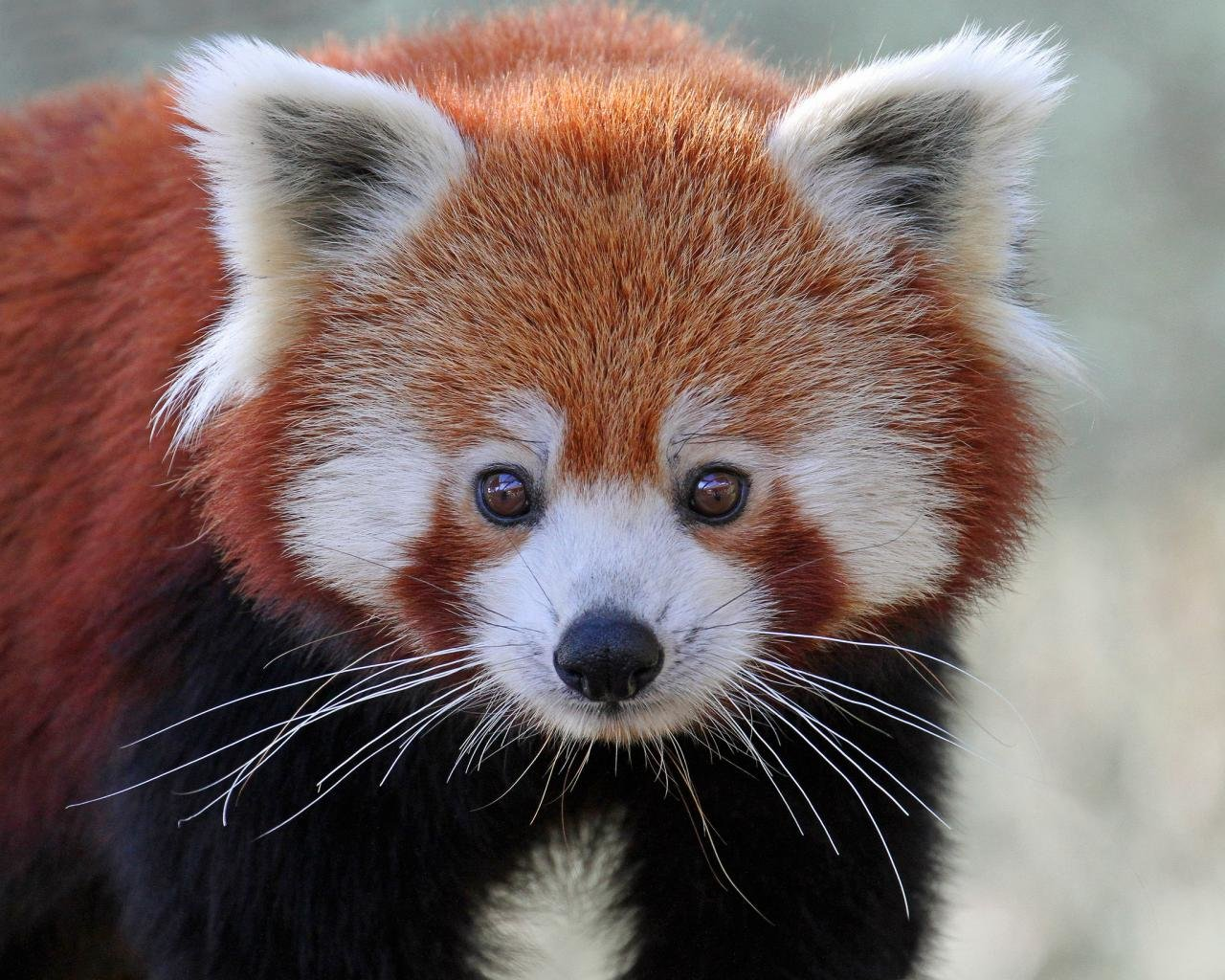 Awesome Red Panda free wallpaper ID:64069 for hd 1280x1024 desktop