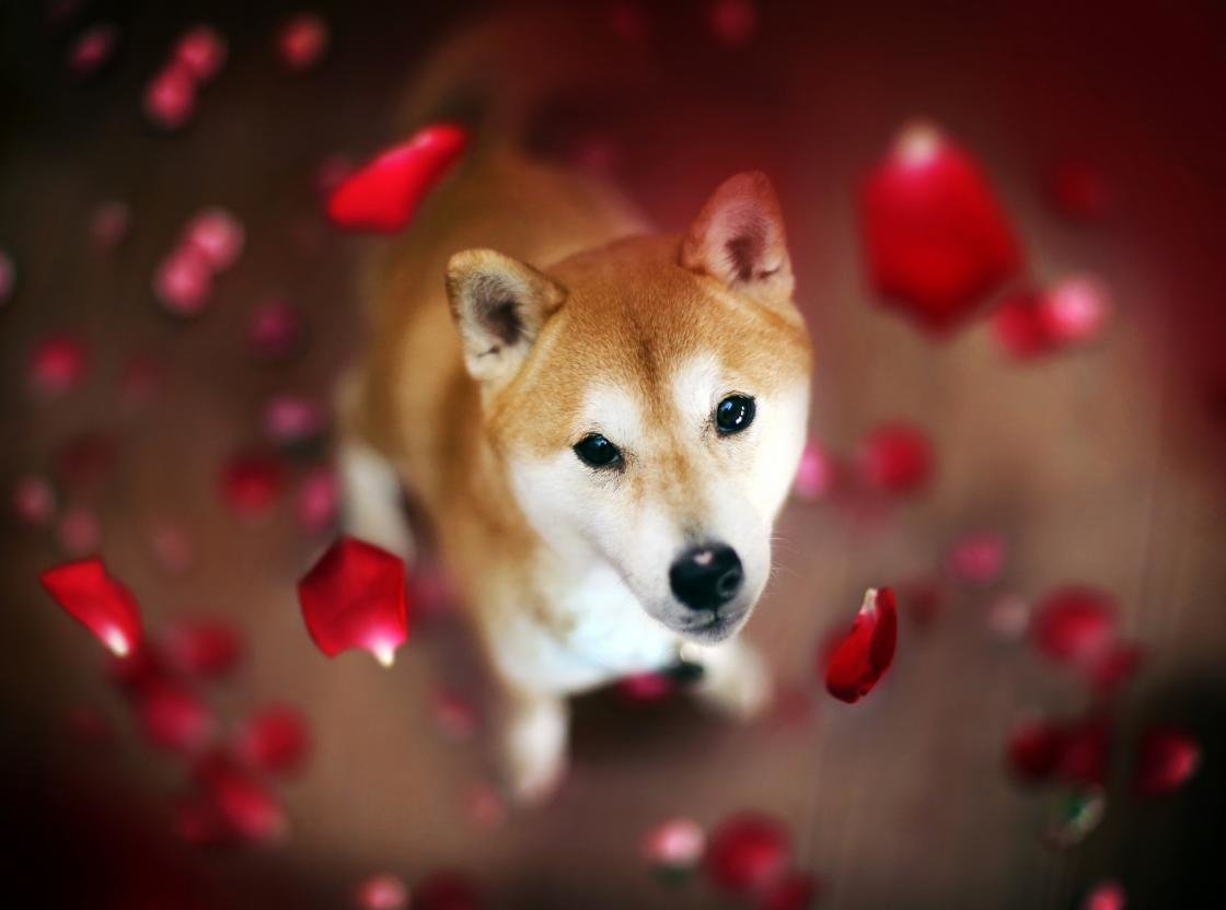Awesome Shiba Inu free wallpaper ID:125927 for hd 1120x832 computer
