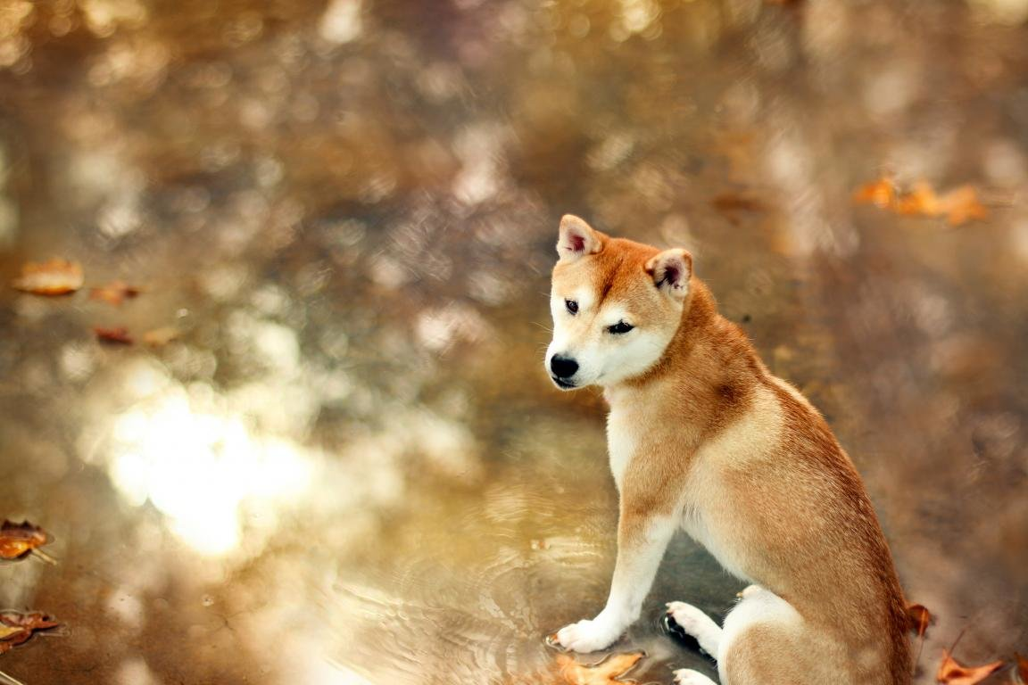 Awesome Shiba Inu Free Wallpaper Id 125932 For Hd 1152x768 Pc