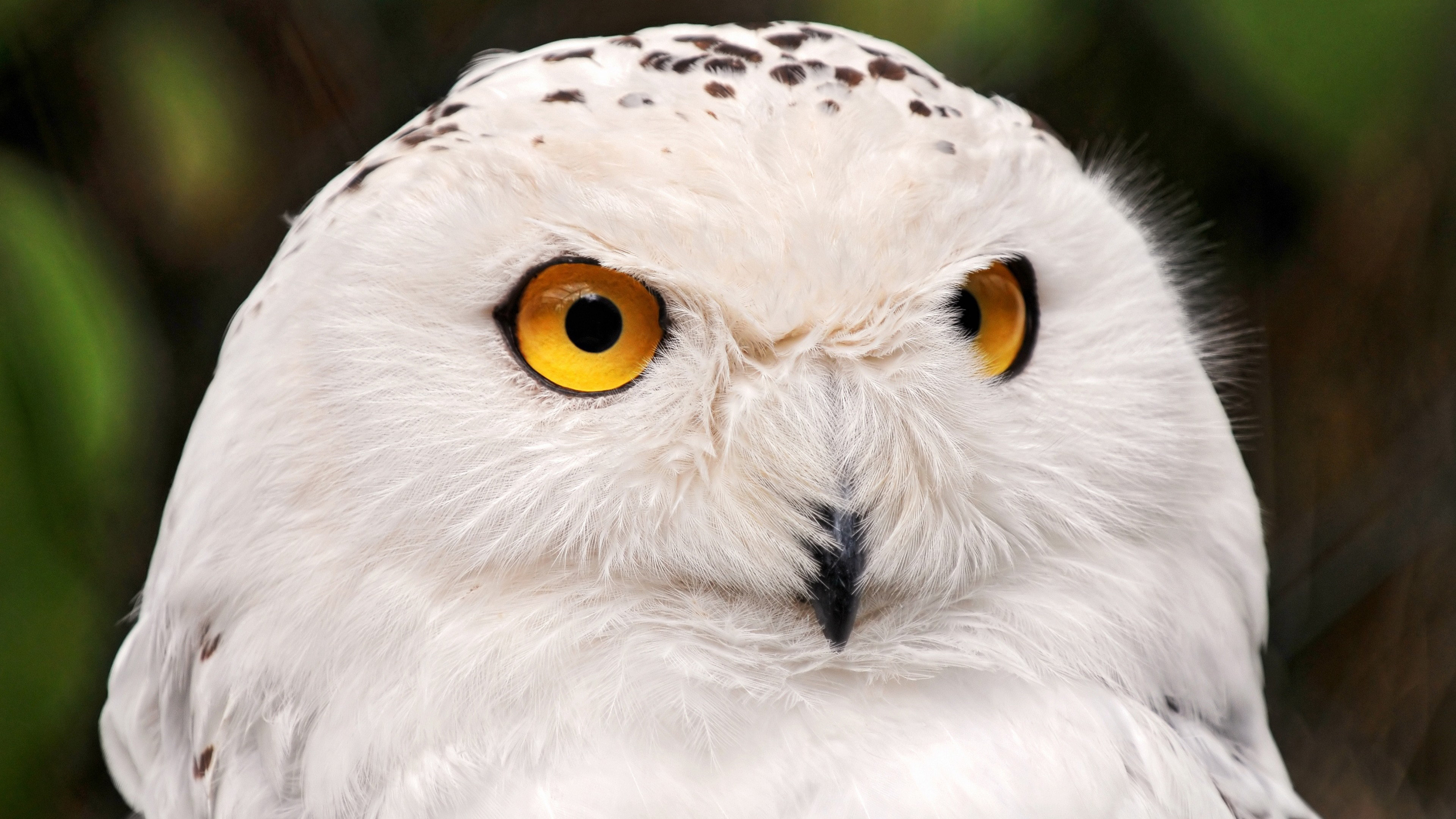 Download hd 4k Snowy Owl desktop background ID:26818 for free