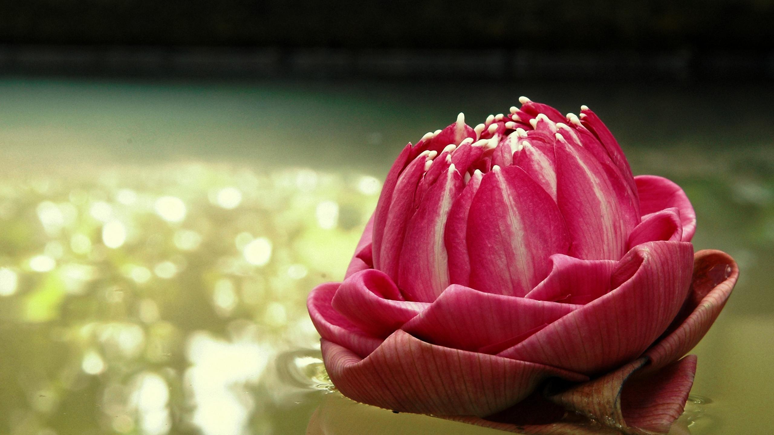 Lotus Flower Wallpapers 2560x1440 Desktop Backgrounds