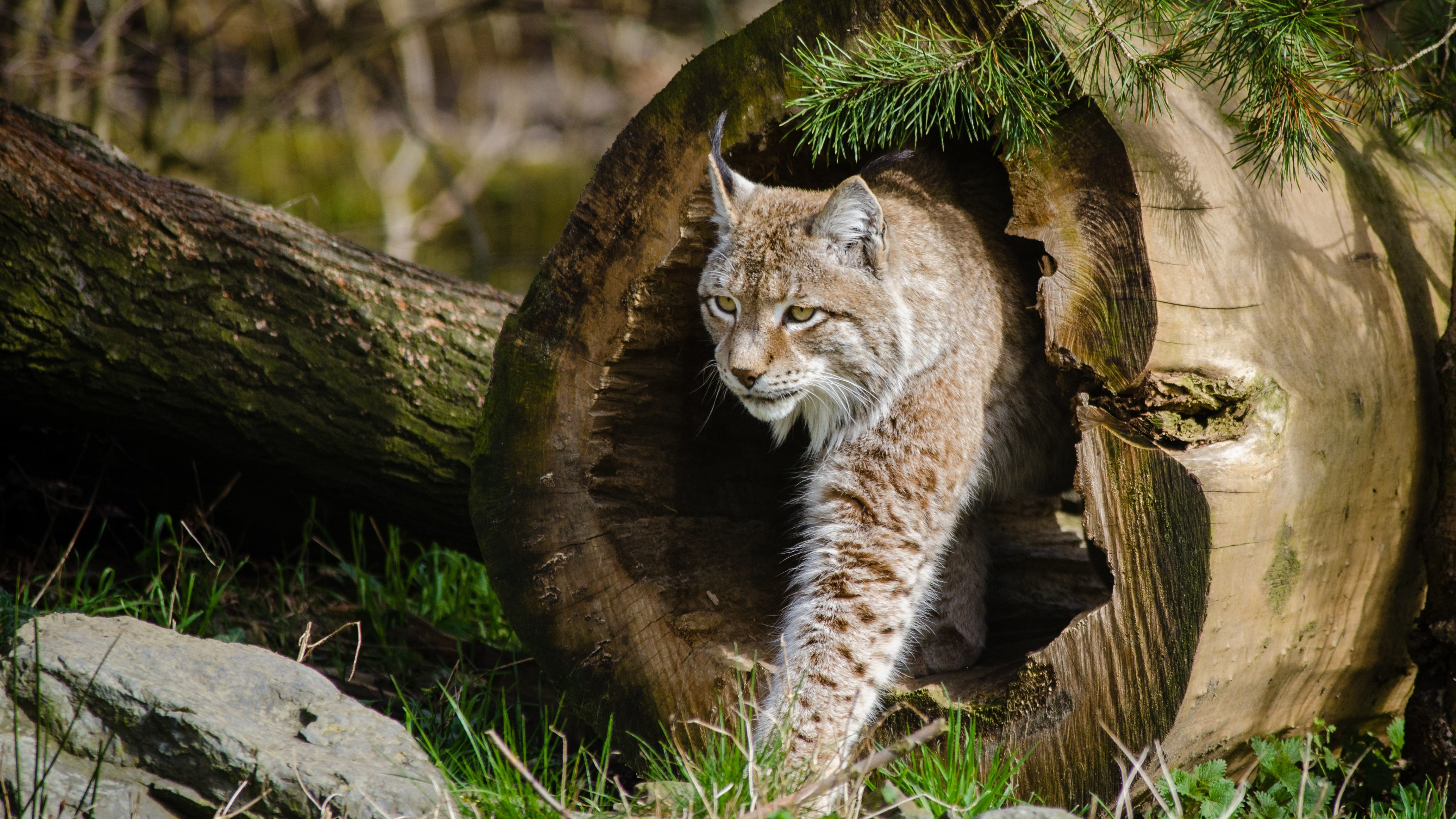 Free download Lynx wallpaper ID:105762 ultra hd 4k for computer
