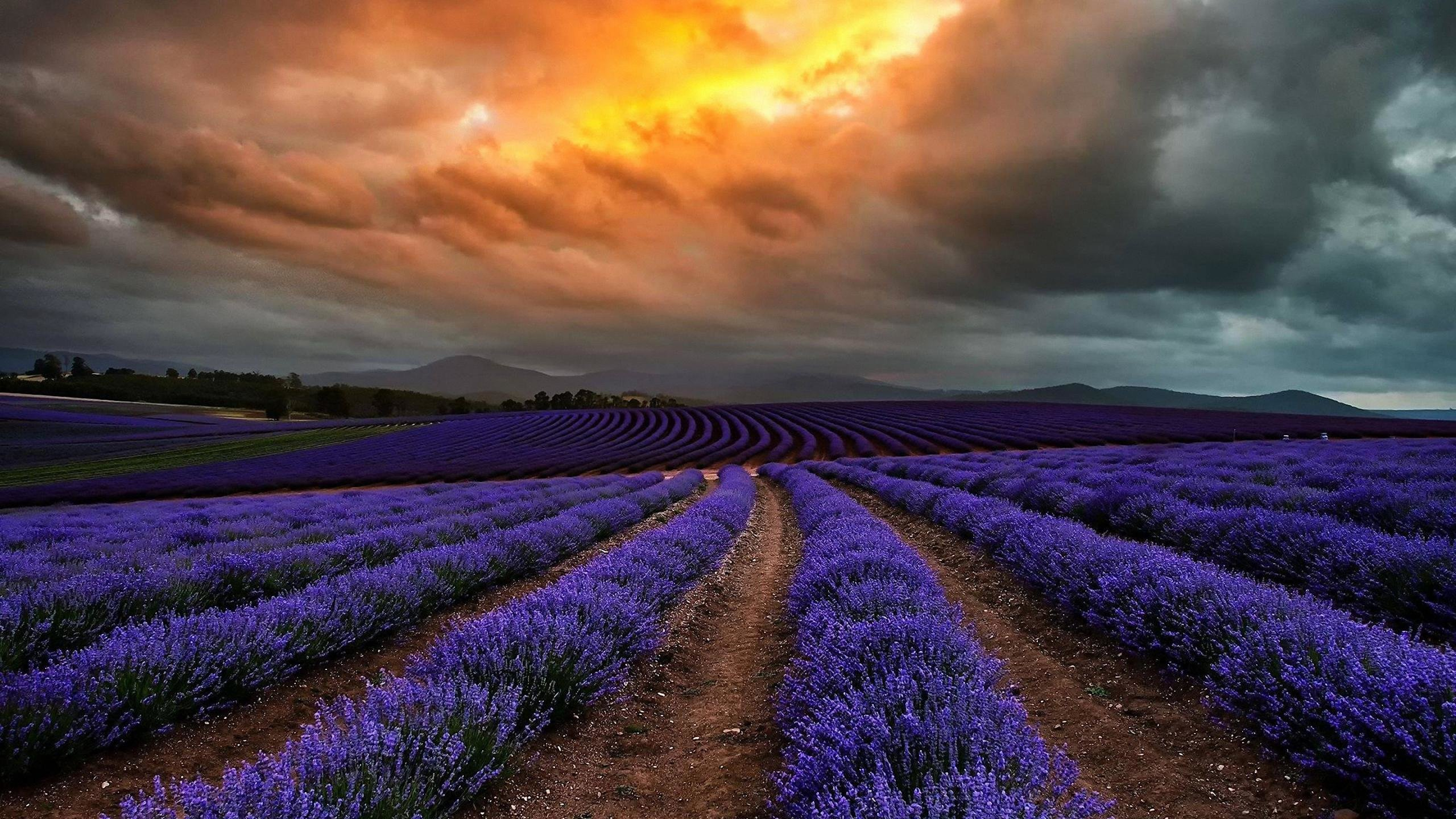 Download hd 2560x1440 Lavender computer wallpaper ID:67442 for free