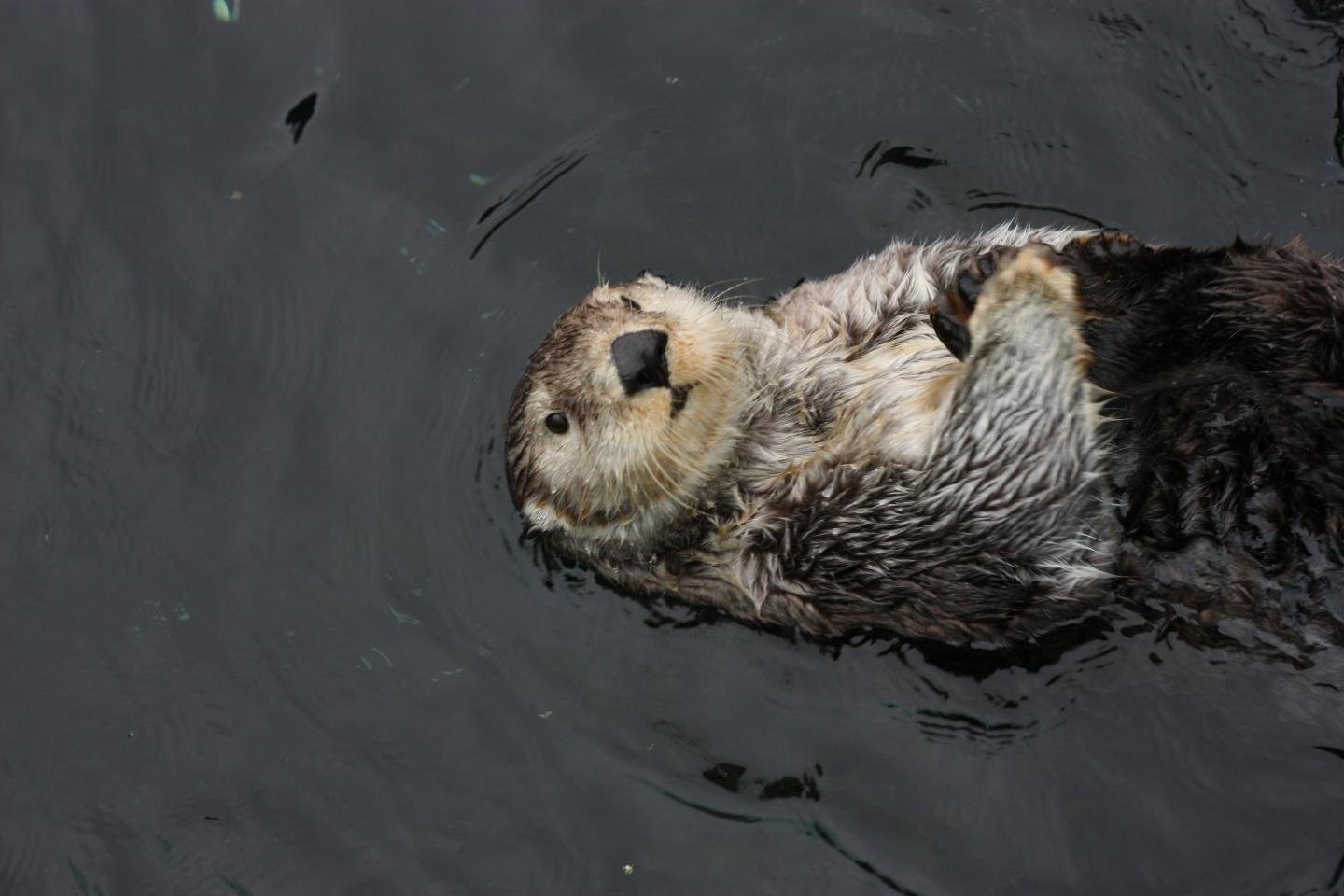Awesome Sea Otter free background ID:123584 for hd 1440x960 desktop