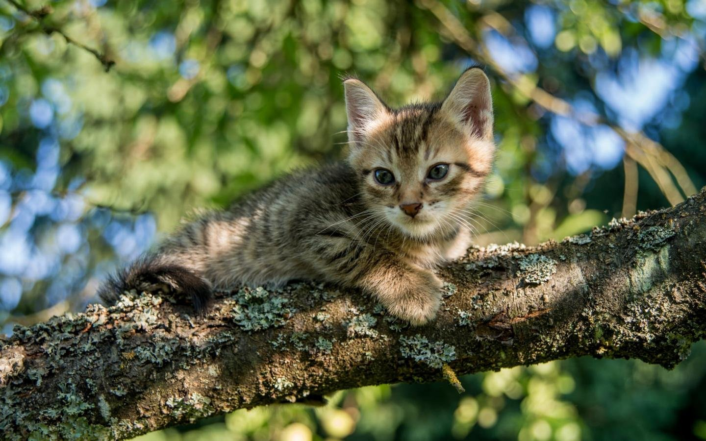 Free download Kitten wallpaper ID:428961 hd 1440x900 for computer