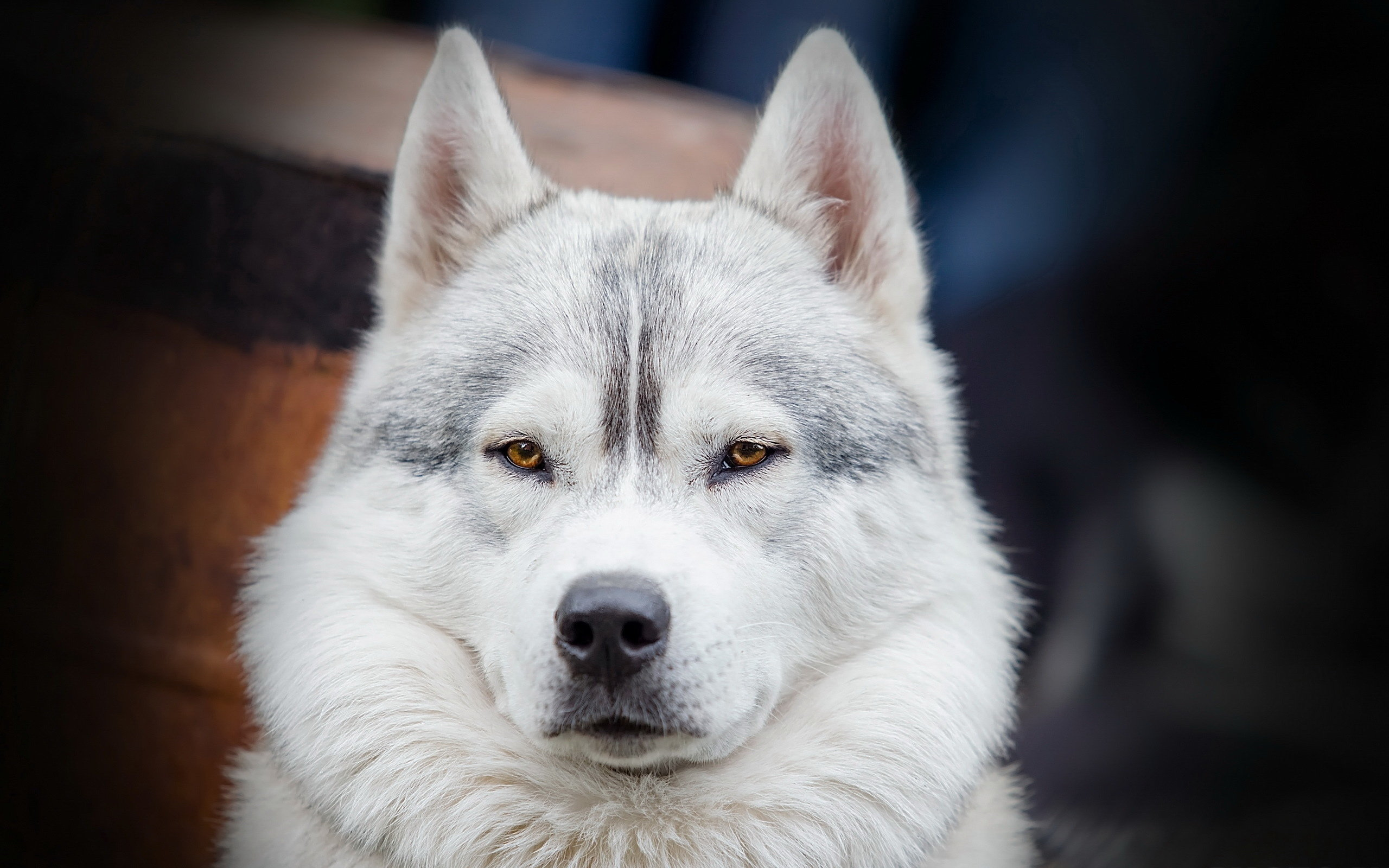 Awesome Siberian Husky free wallpaper ID:155233 for hd 2560x1600 computer