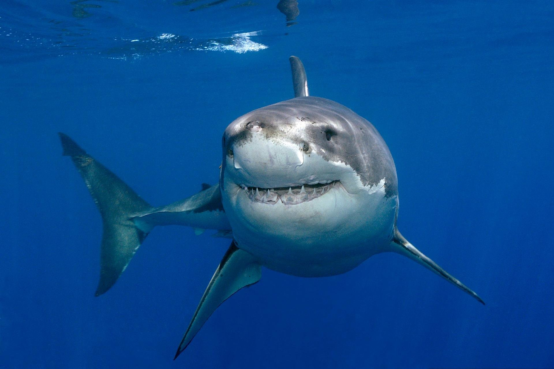 Free Great White Shark High Quality Wallpaper Id374694 For