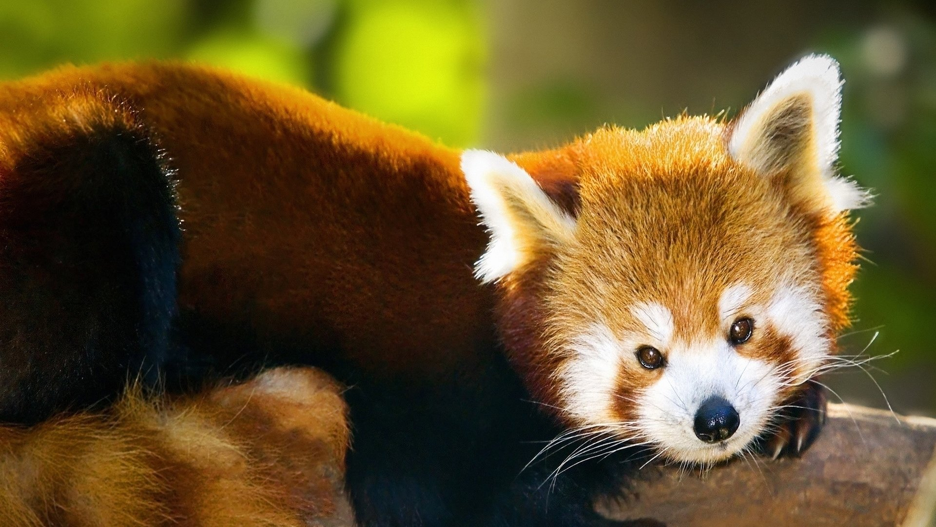 Best Red Panda wallpaper ID:64125 for High Resolution full hd 1920x1080 computer