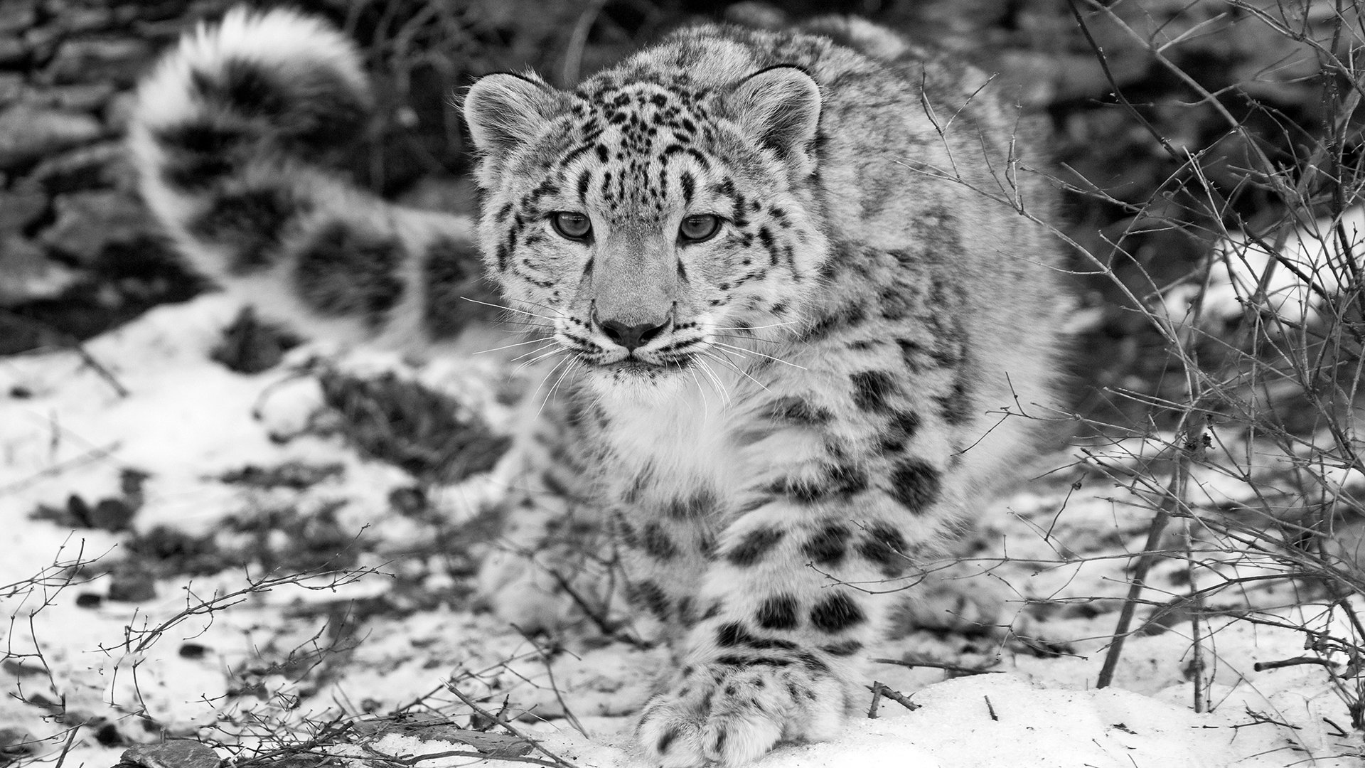 High resolution Snow Leopard hd 1920x1080 background ID:34351 for desktop