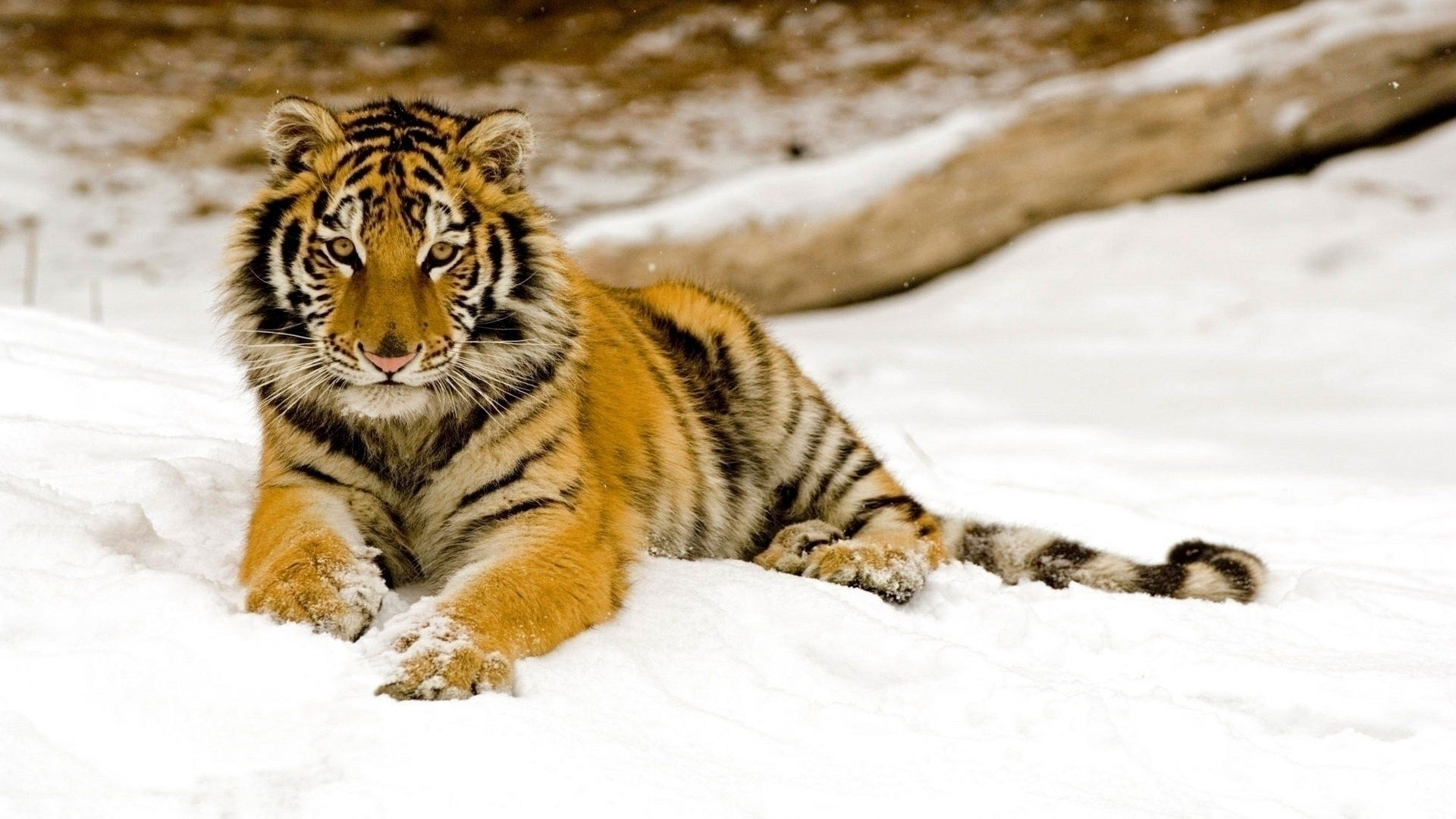 High resolution Tiger hd 1080p wallpaper ID:115595 for computer